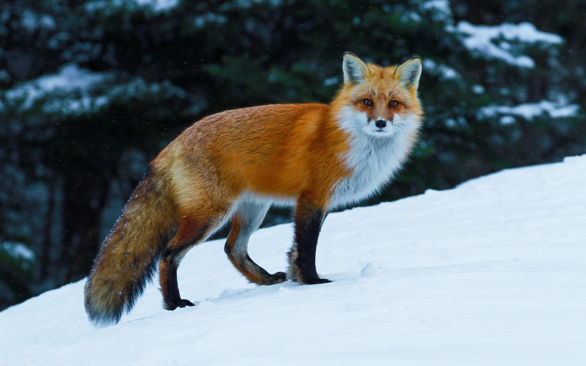Про, лисички красивые картинки
