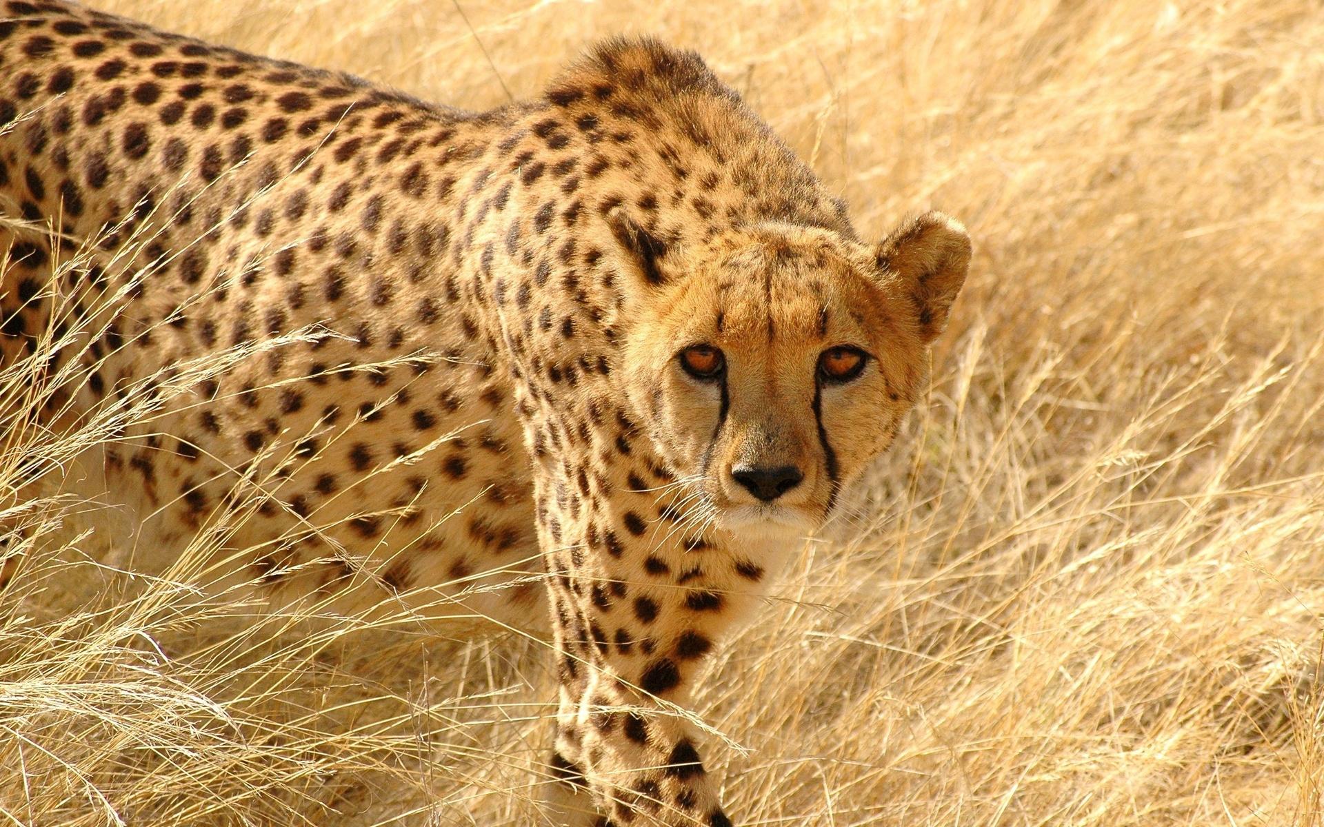 гепард фото животного считается одним самых
