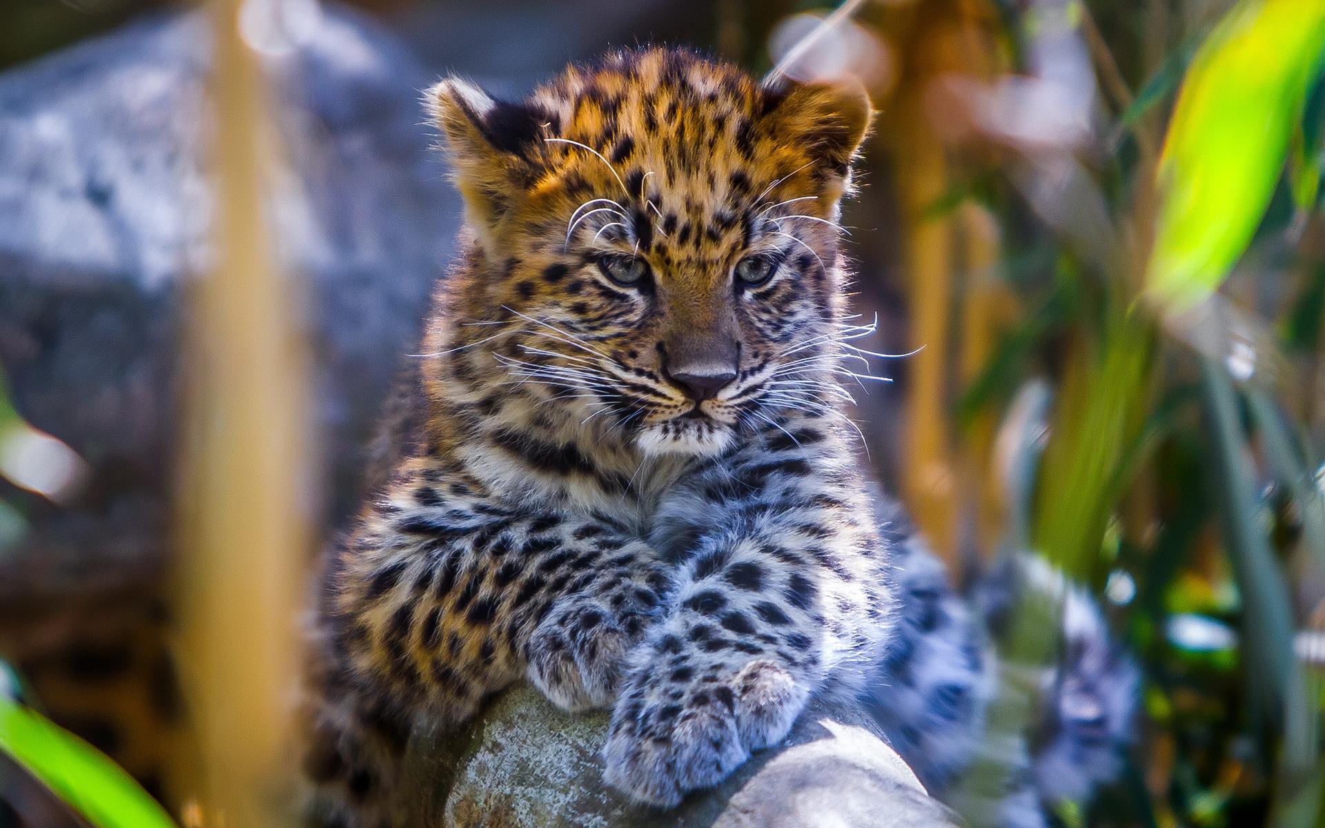 вами, леопард фото животного красивый слушайте скептиков