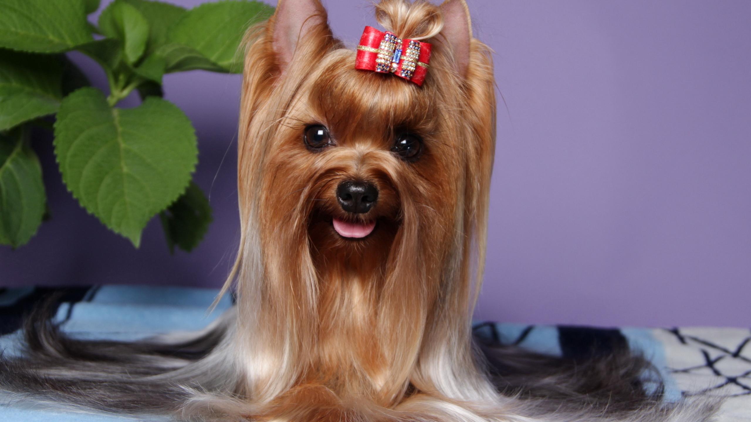 картинки с собаками йорки есть все технические