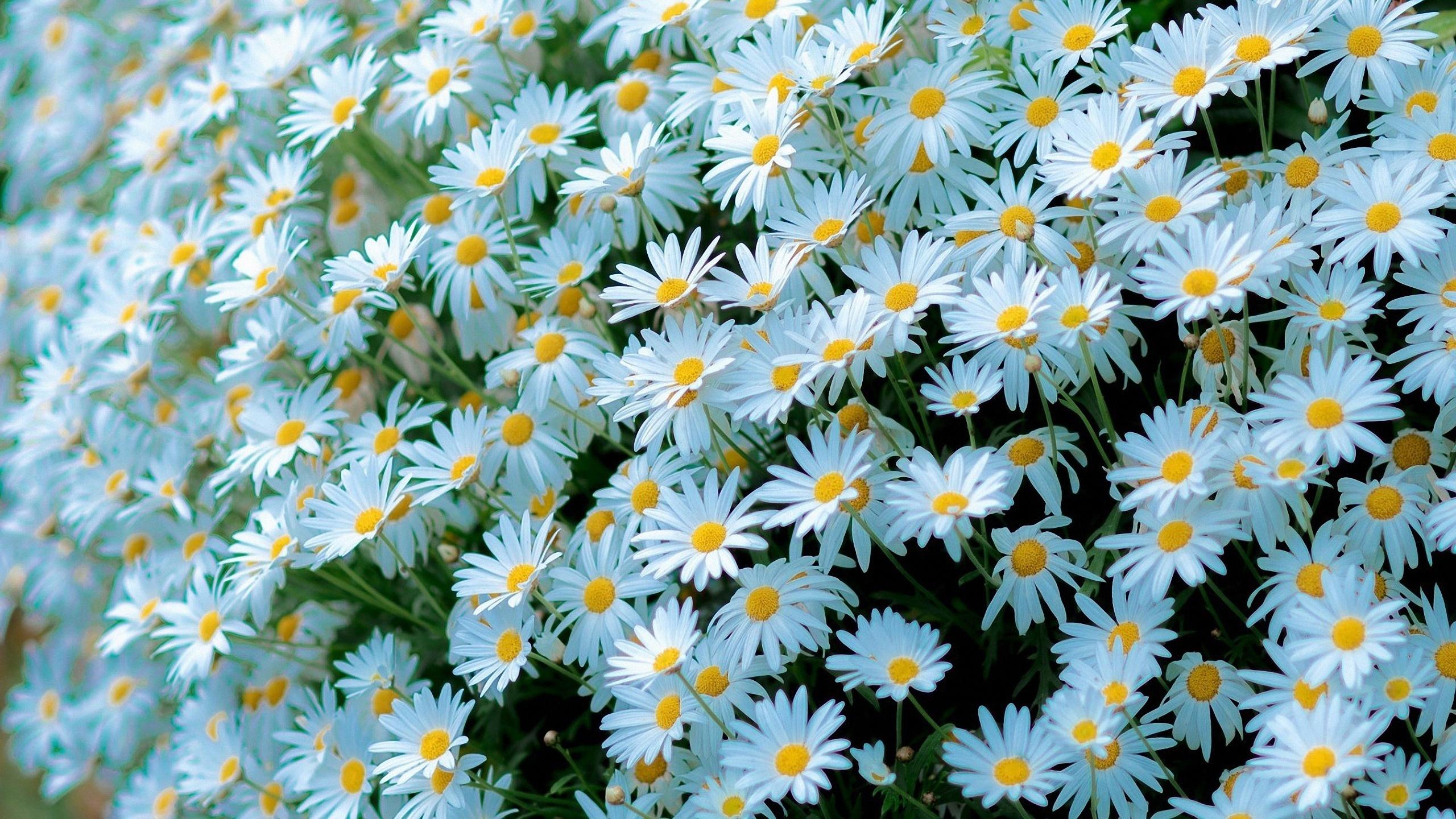 Дню матери, открытка цветы ромашка