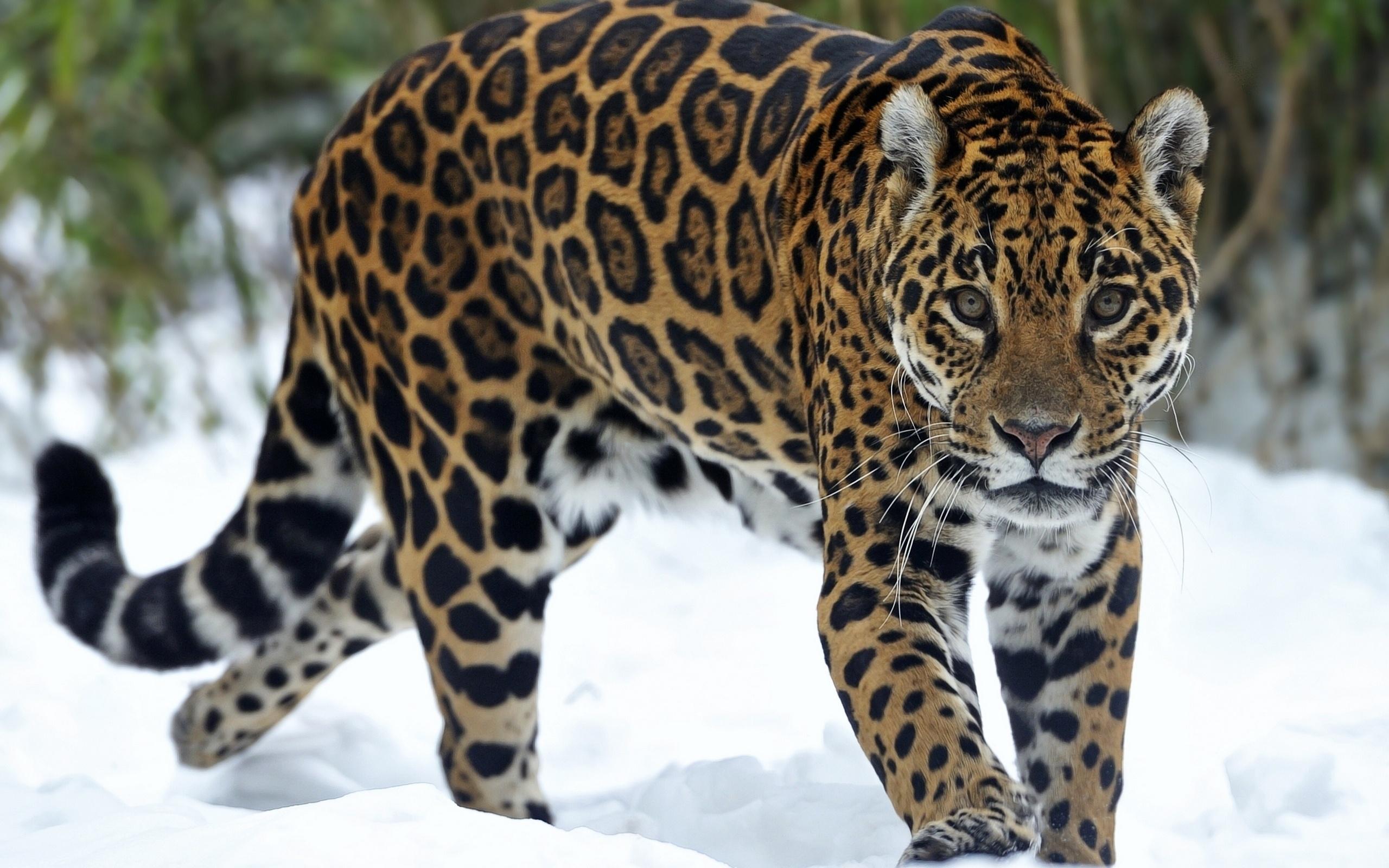 кто картинки диких ягуаров большинства