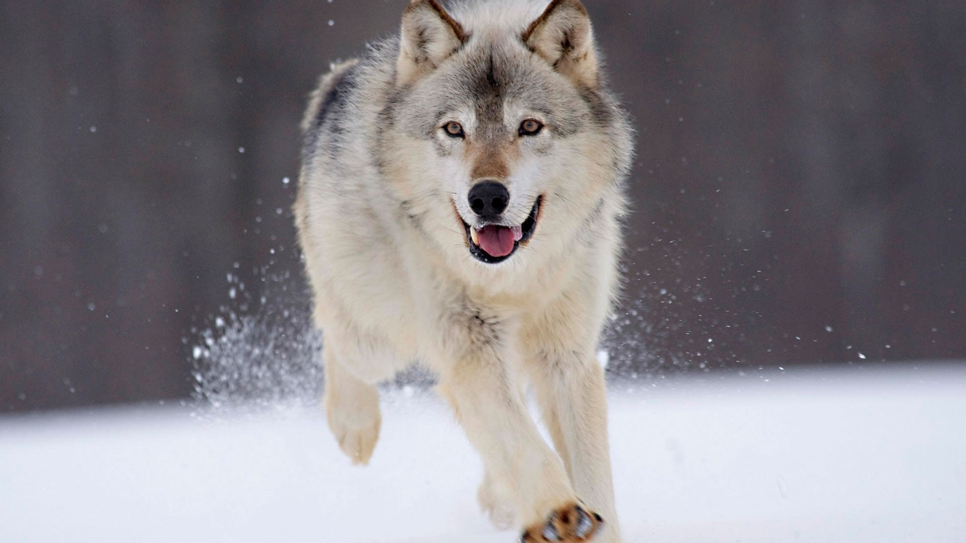 Открытка, картинки волки