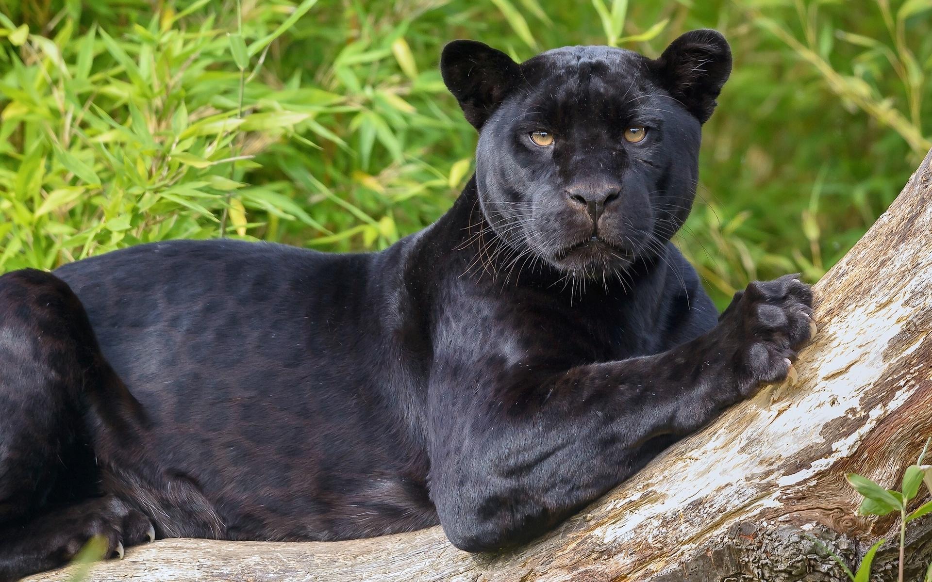 картинки с изображением черной пантеры