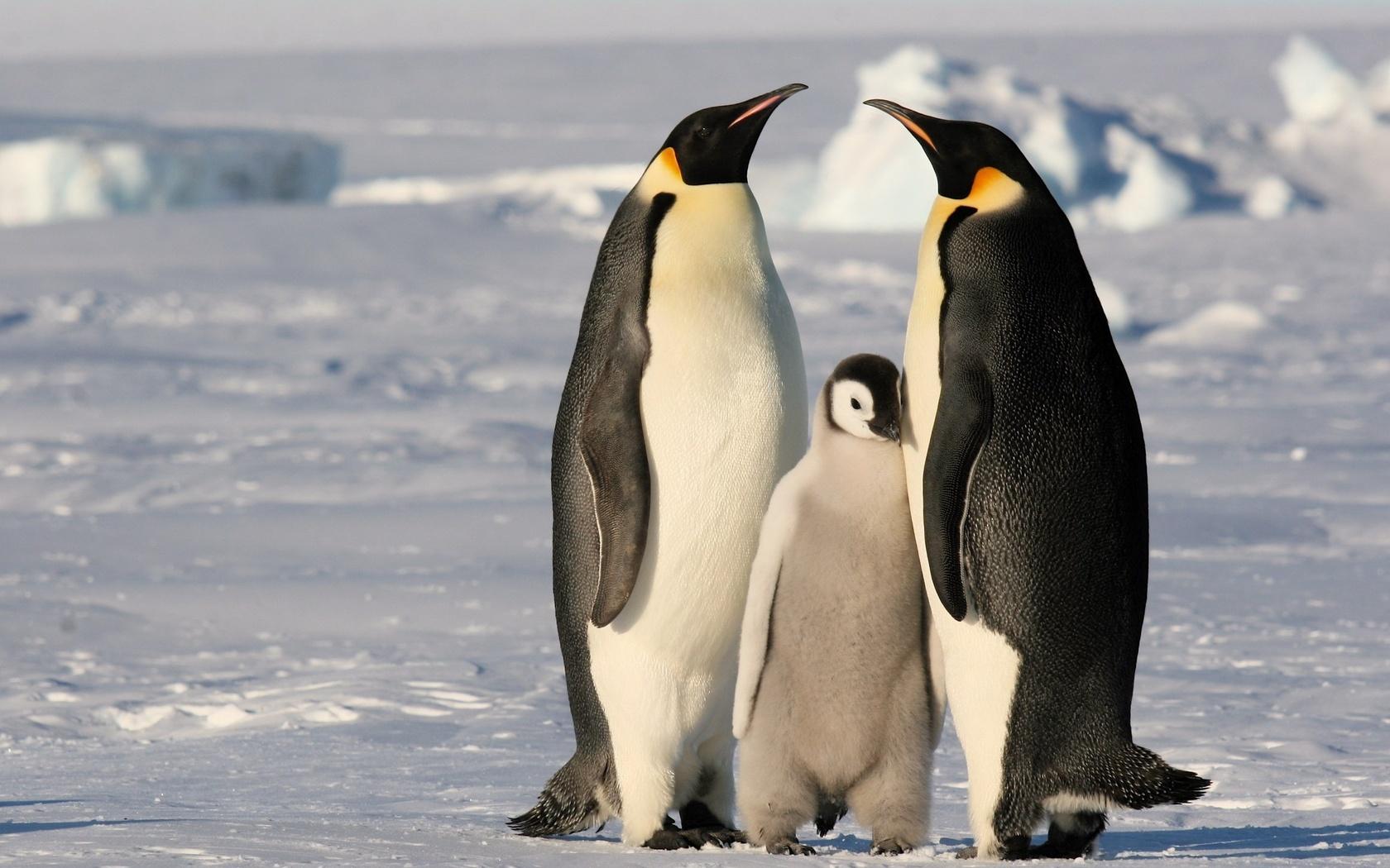 Картинки пингвинов, озера россии верхний