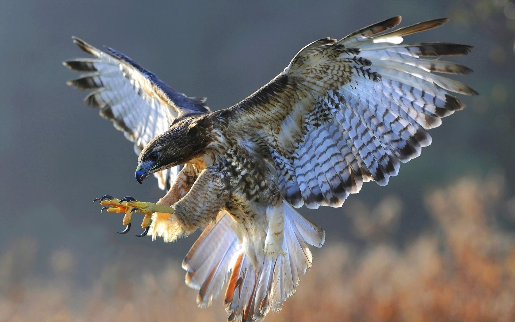 Картинки хищные птицы в полете