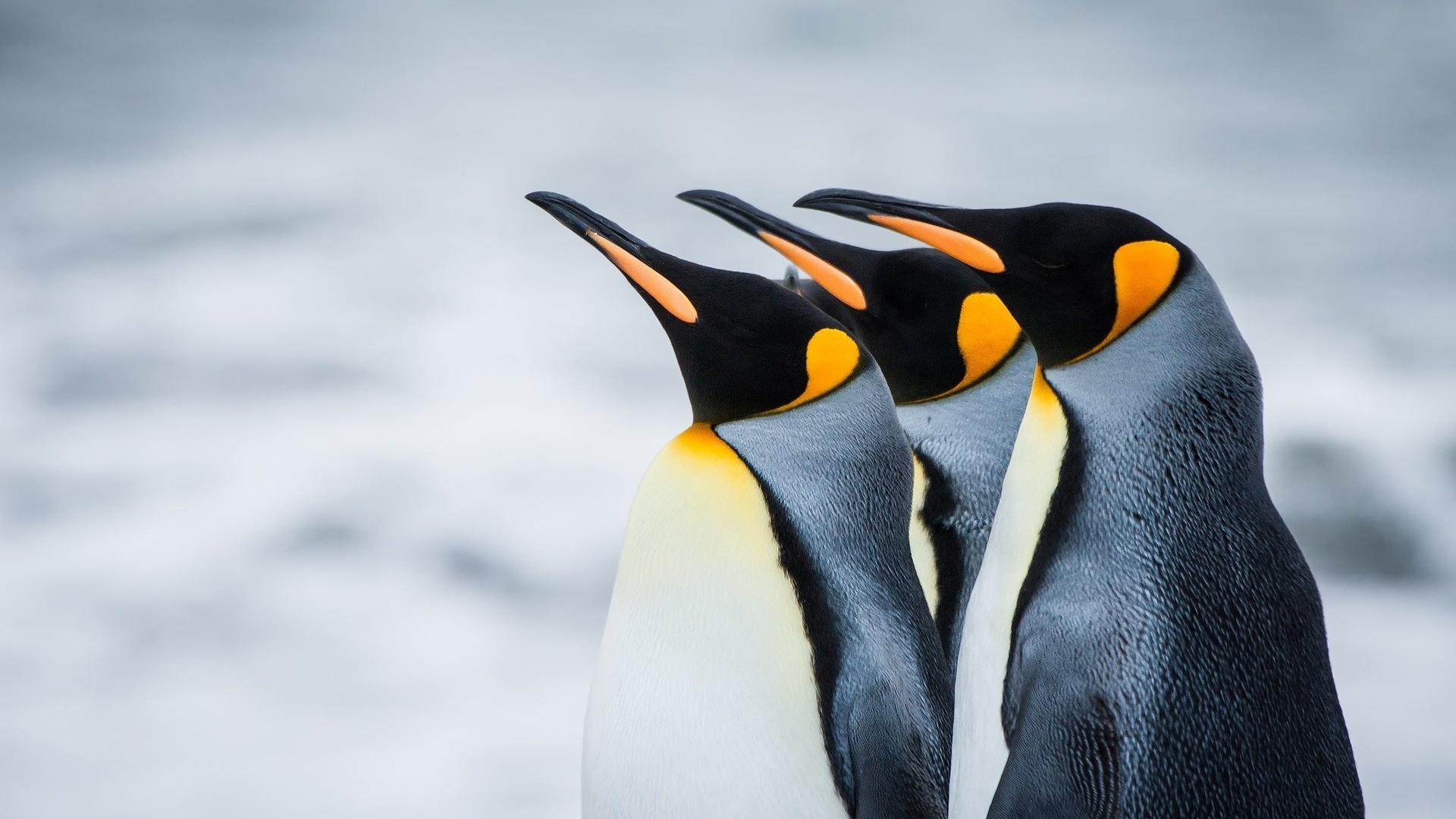 пингвин красивая картинка помощник выборе