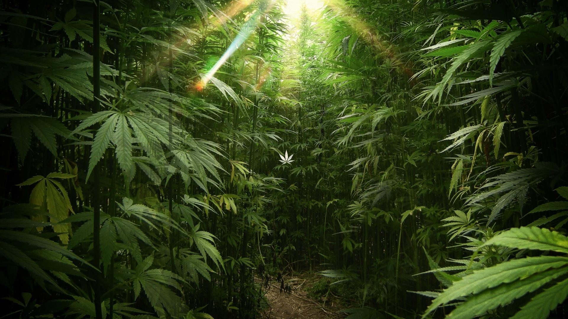 Обои конопля фото марихуана бонго