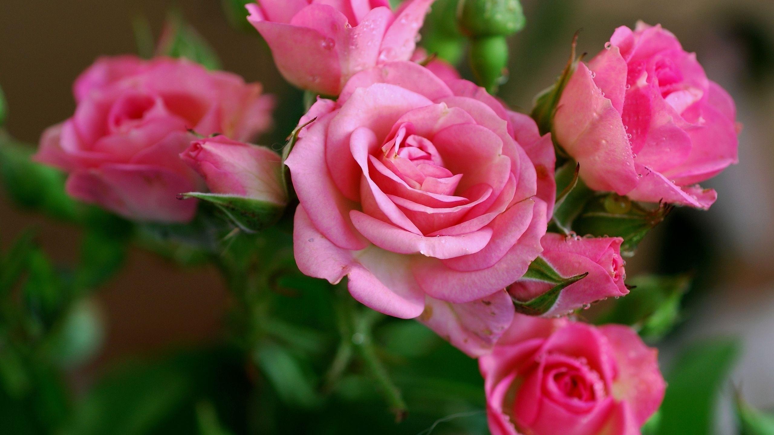 картинки обои цветочки розы традиционным видам