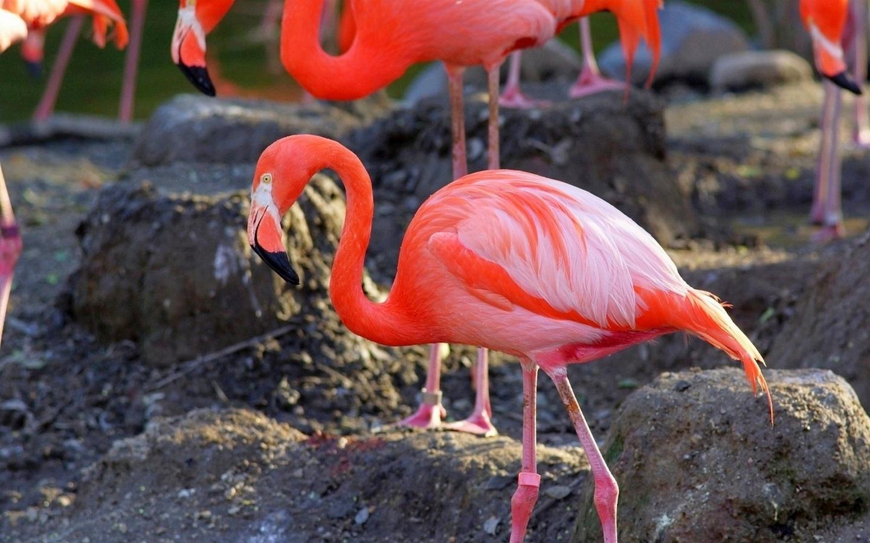 Картинки и фото розового фламинго