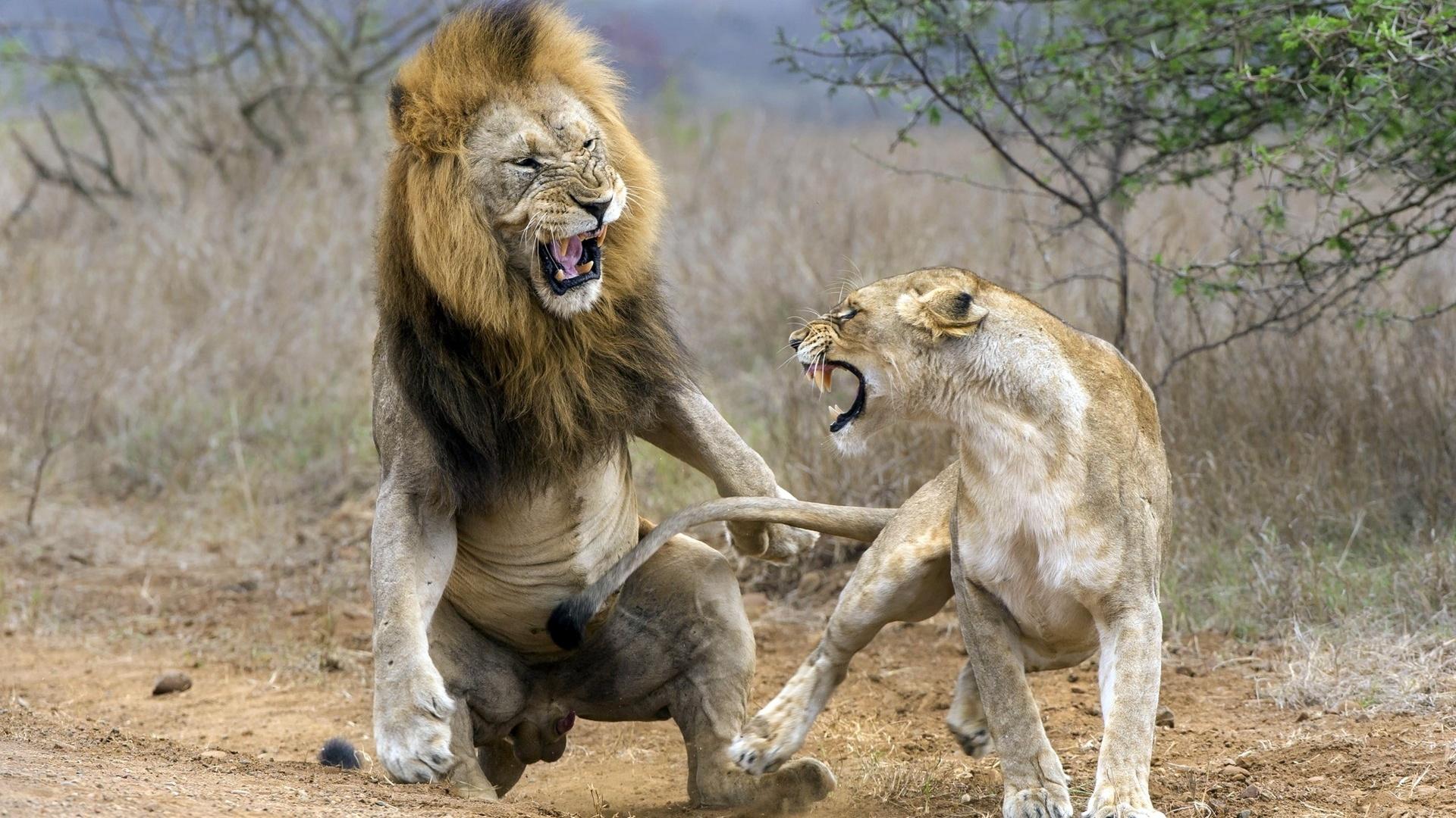 Женщина, картинки про львиц прикольные