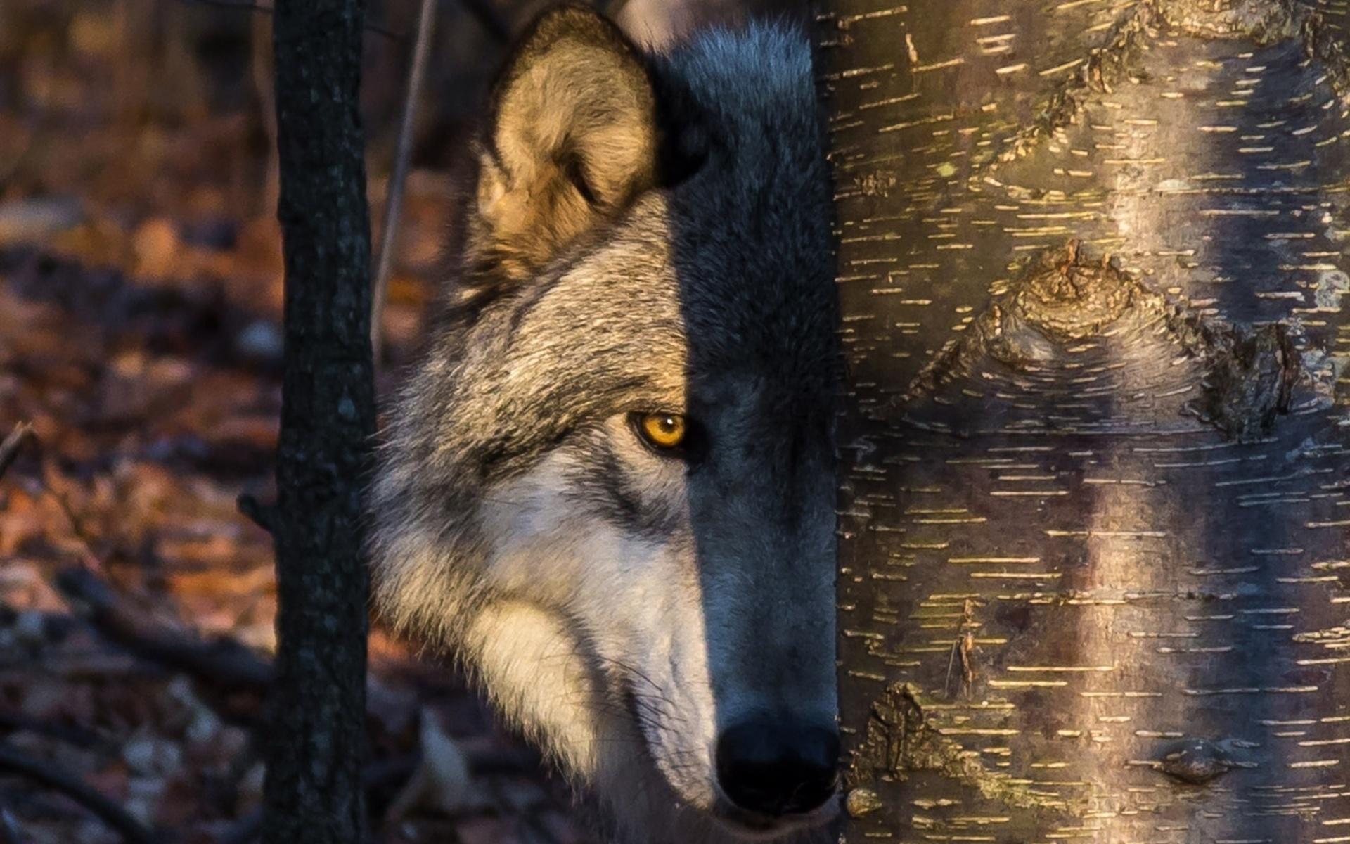 качественные картинки с волками видео записи