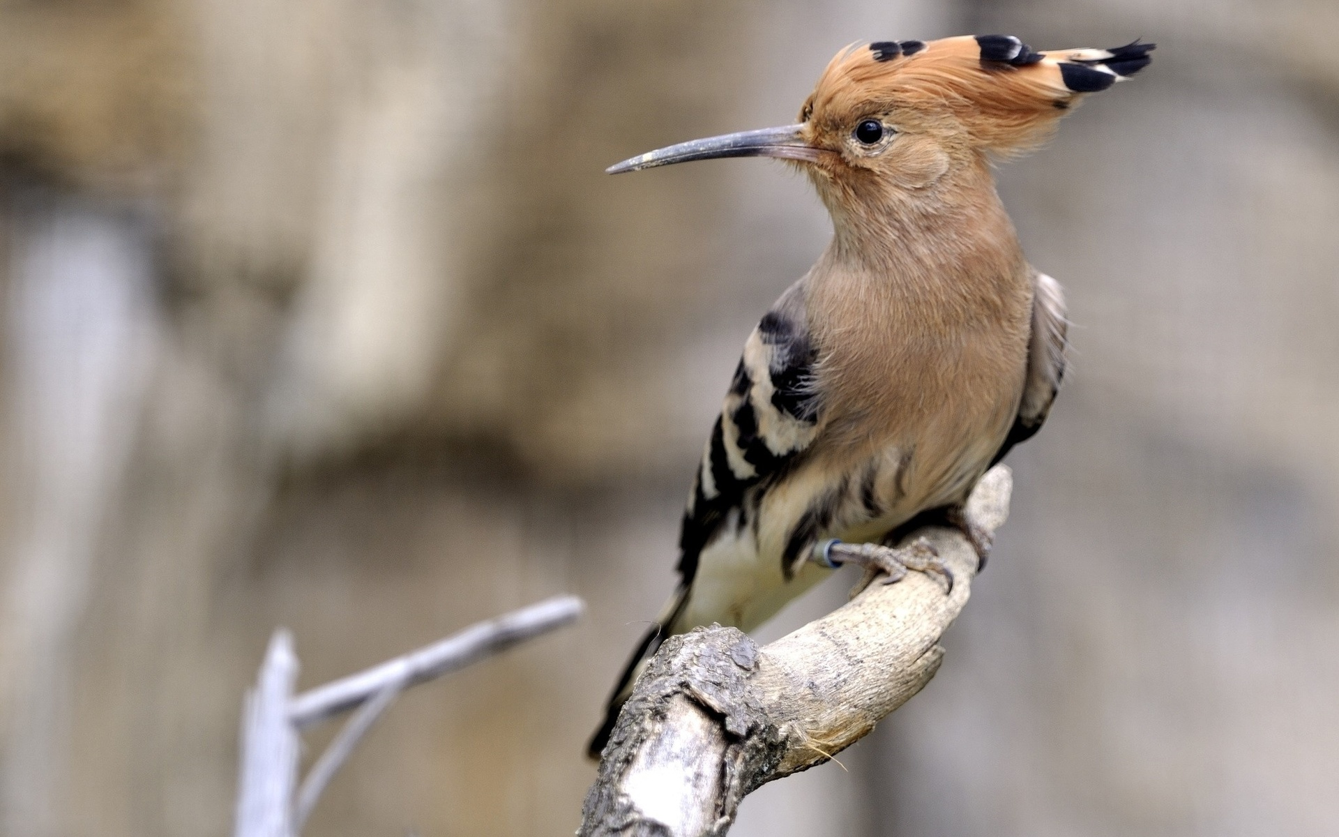 сюжету картинки удод птицы прошлом
