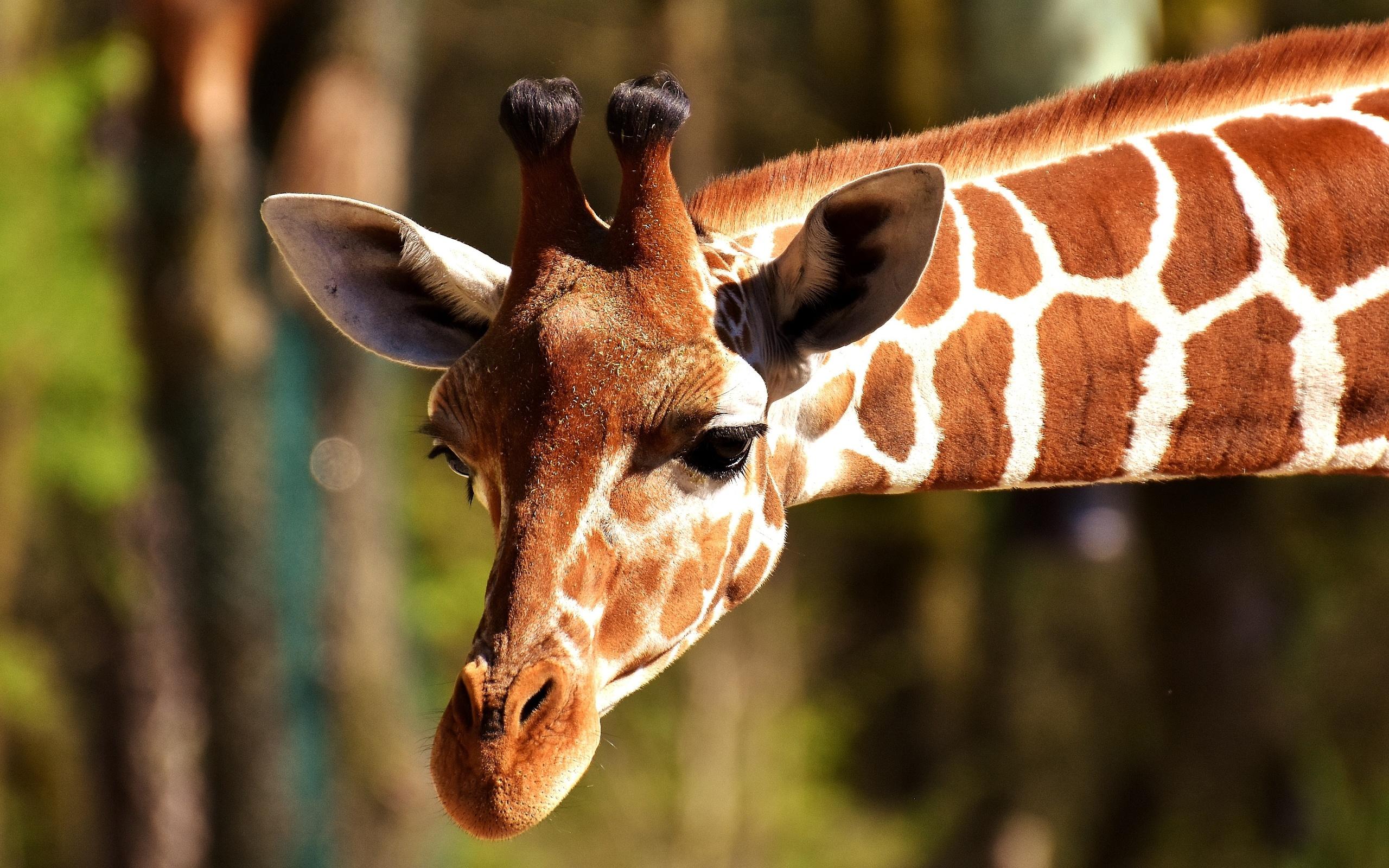 Картинки животных жирафов