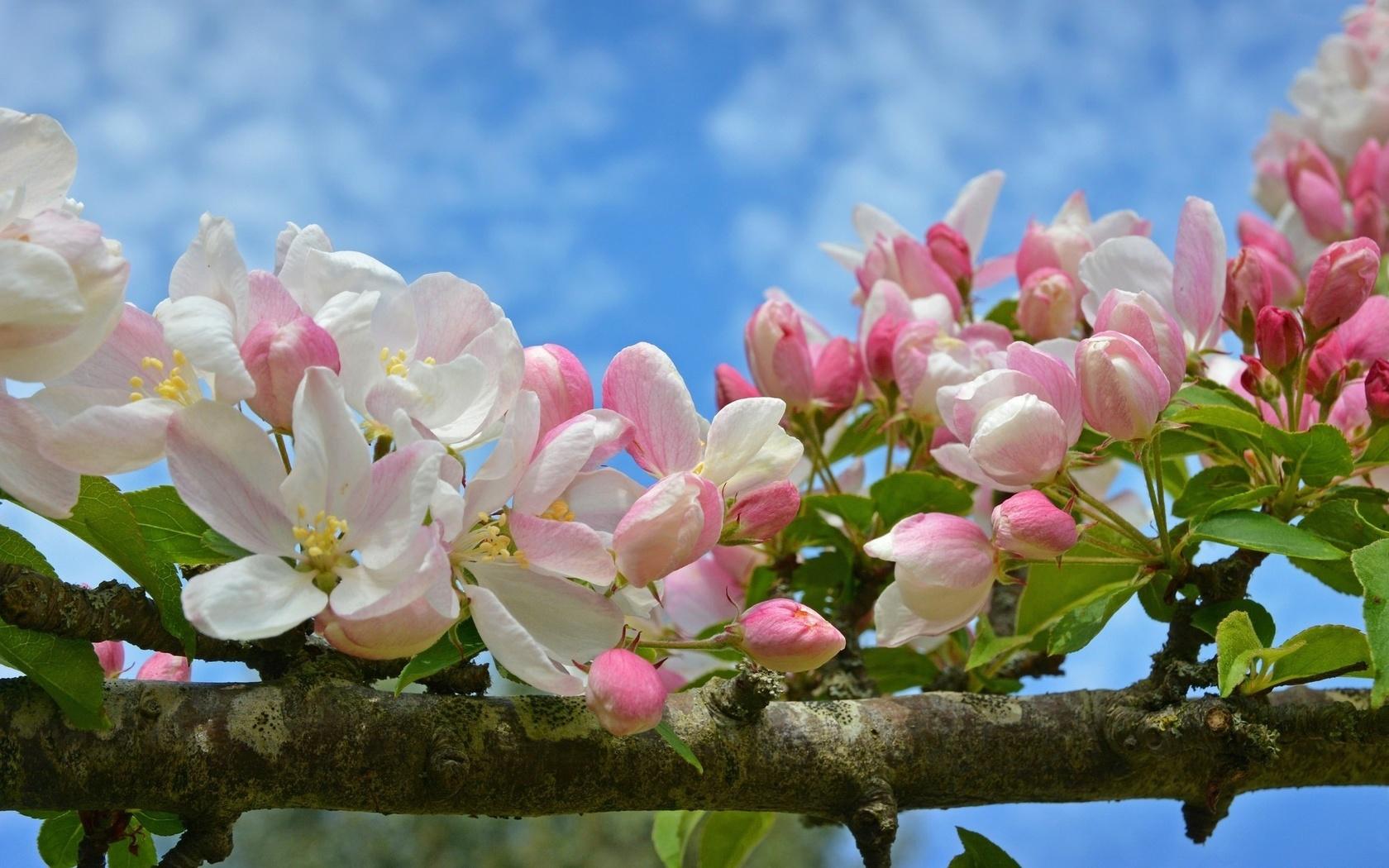 Смешными овечками, картинки цветы яблони большое разрешение