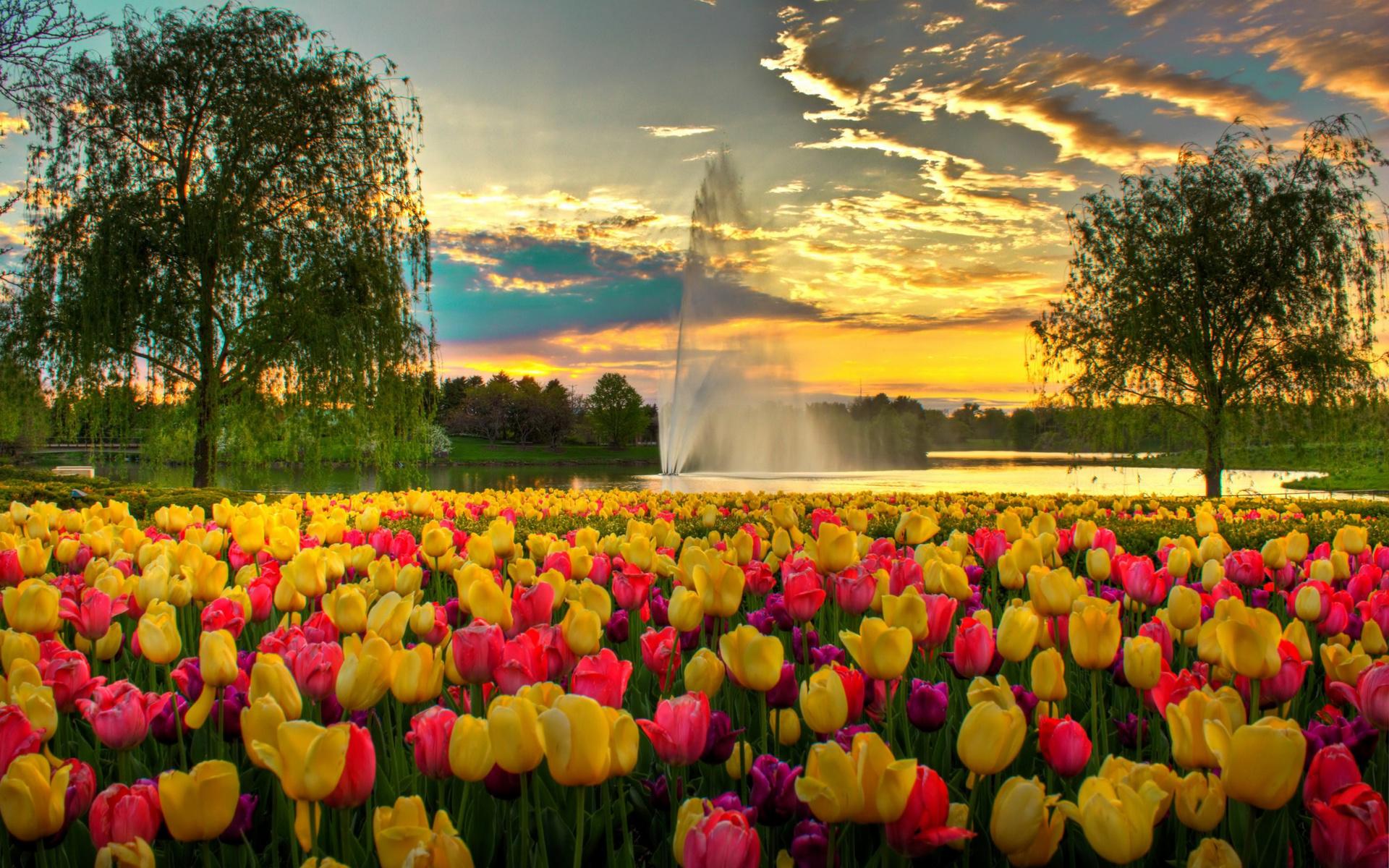 открытки обои тюльпанное поле