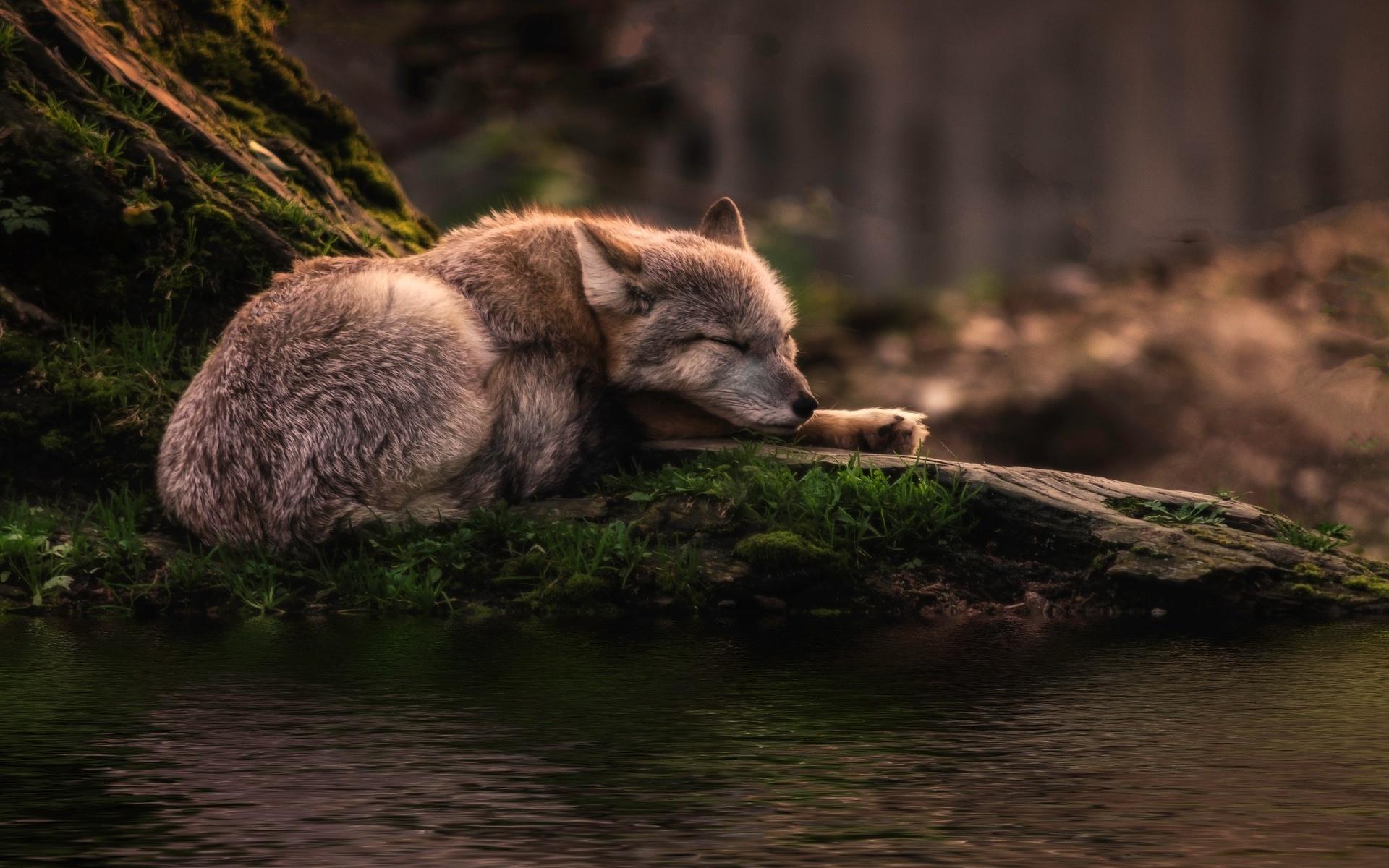 Сонный волк картинки