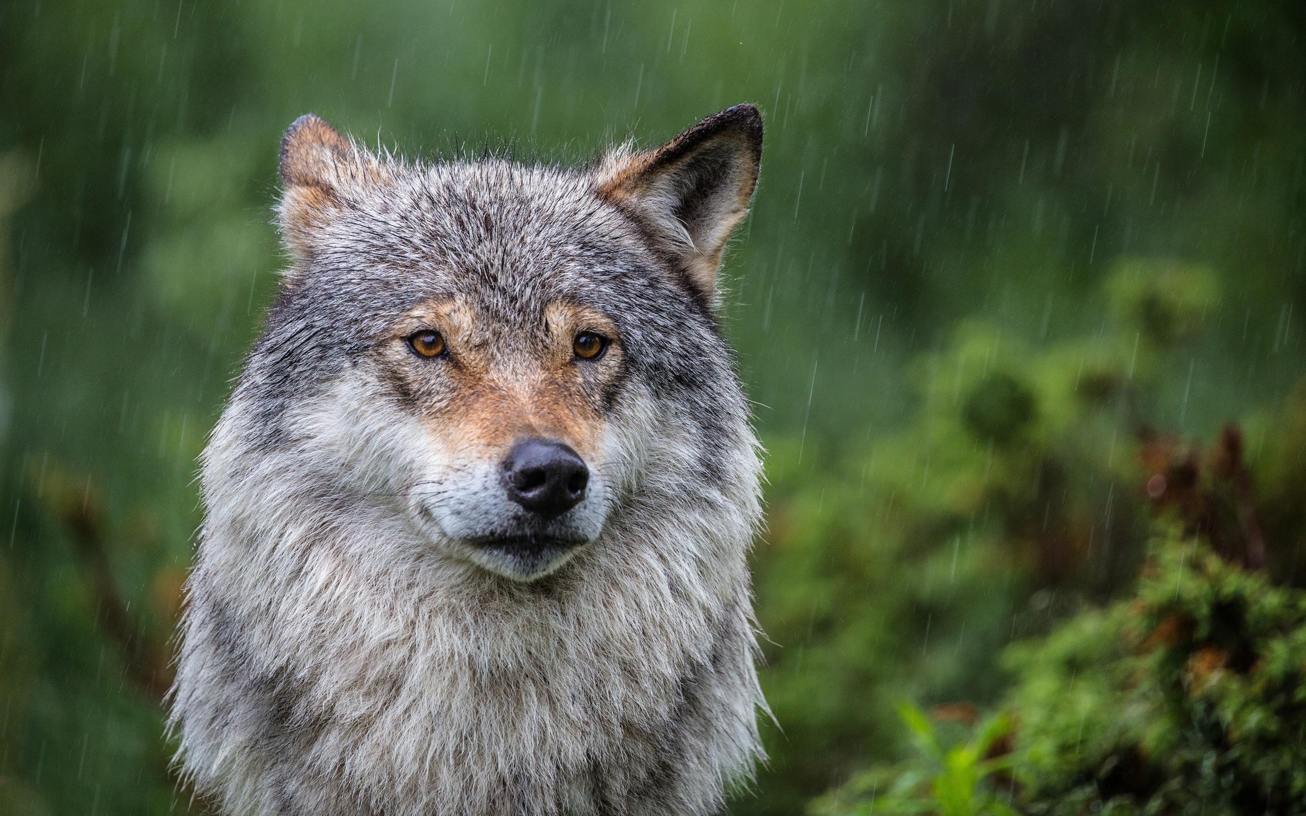 Картинки волков под дождем