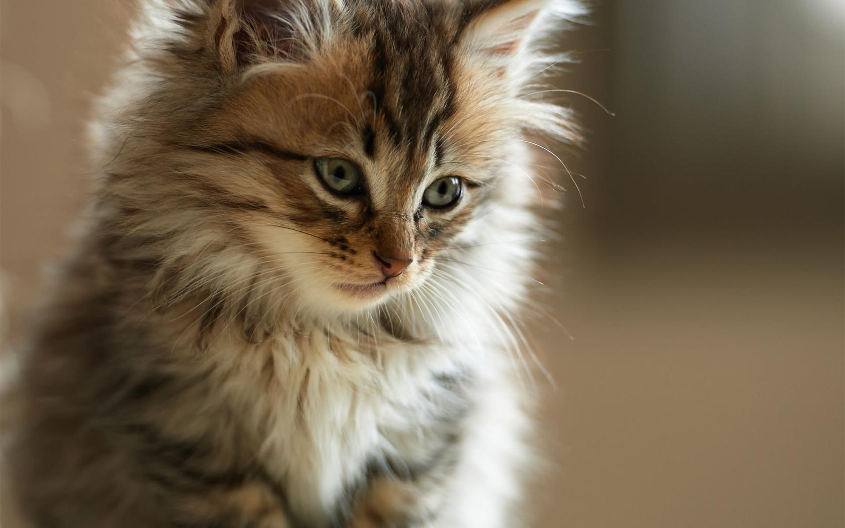 Картинки пушистые котики