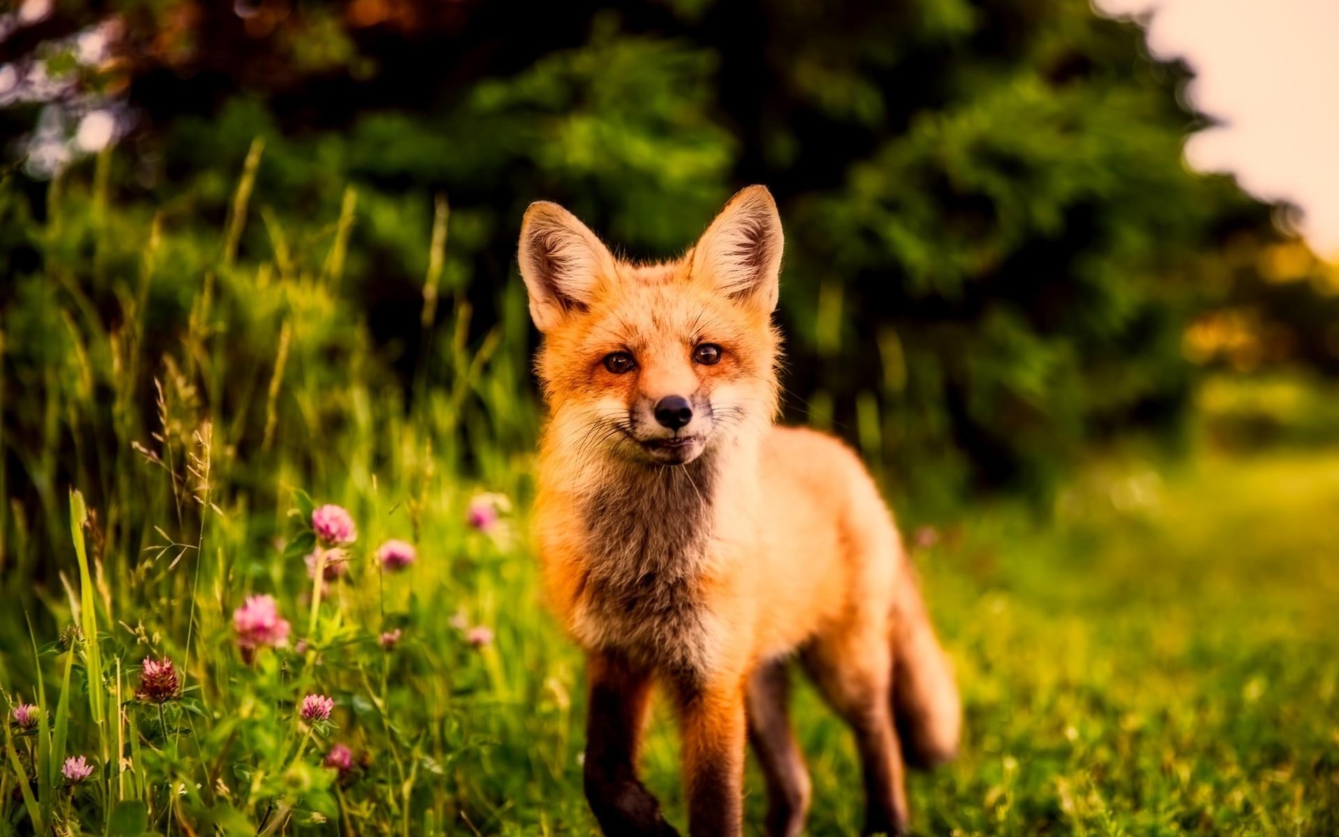 Картинки лисы в лесу летом