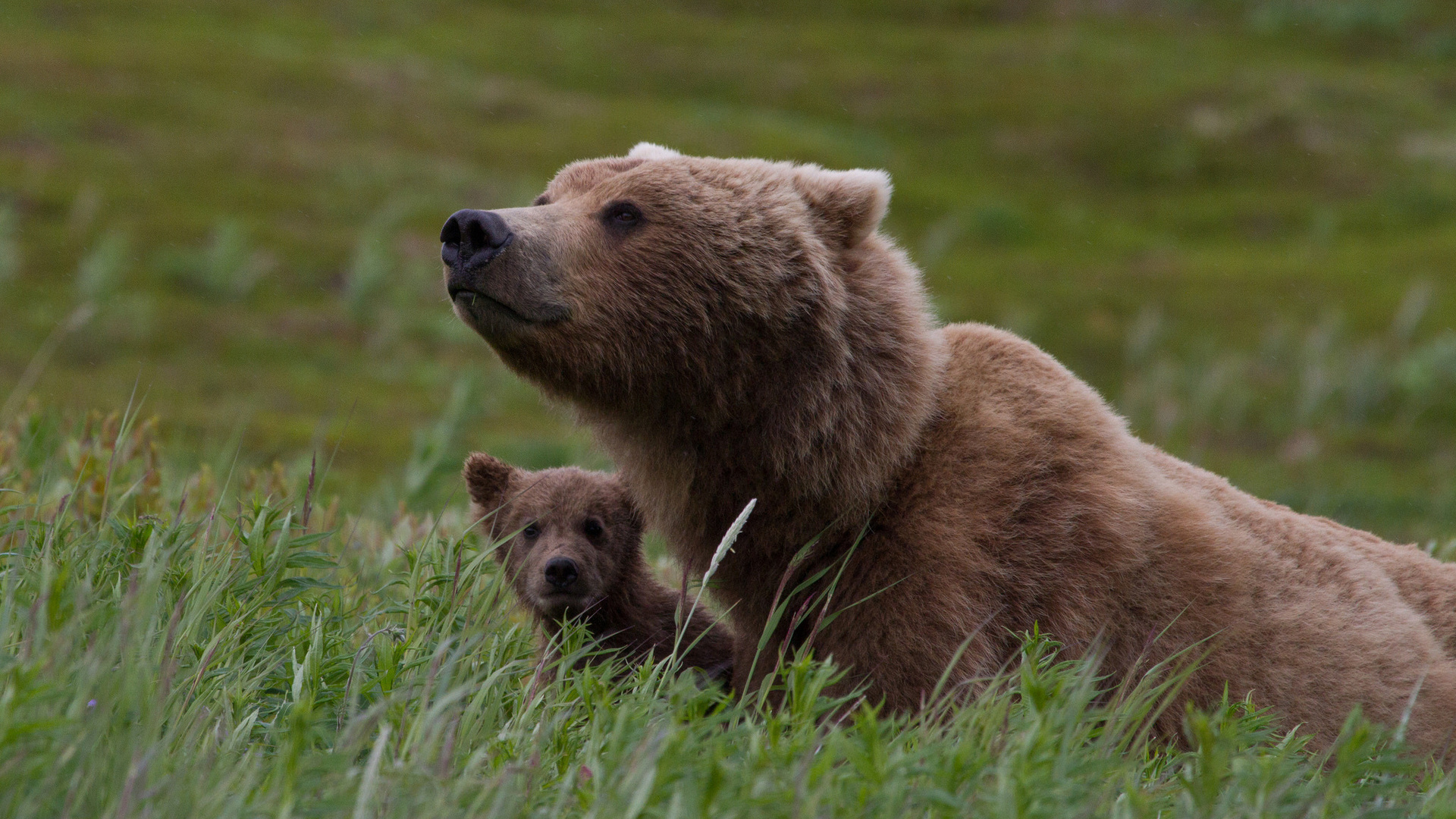 медведь медвежонок сараев фото пара броненосных крейсеров