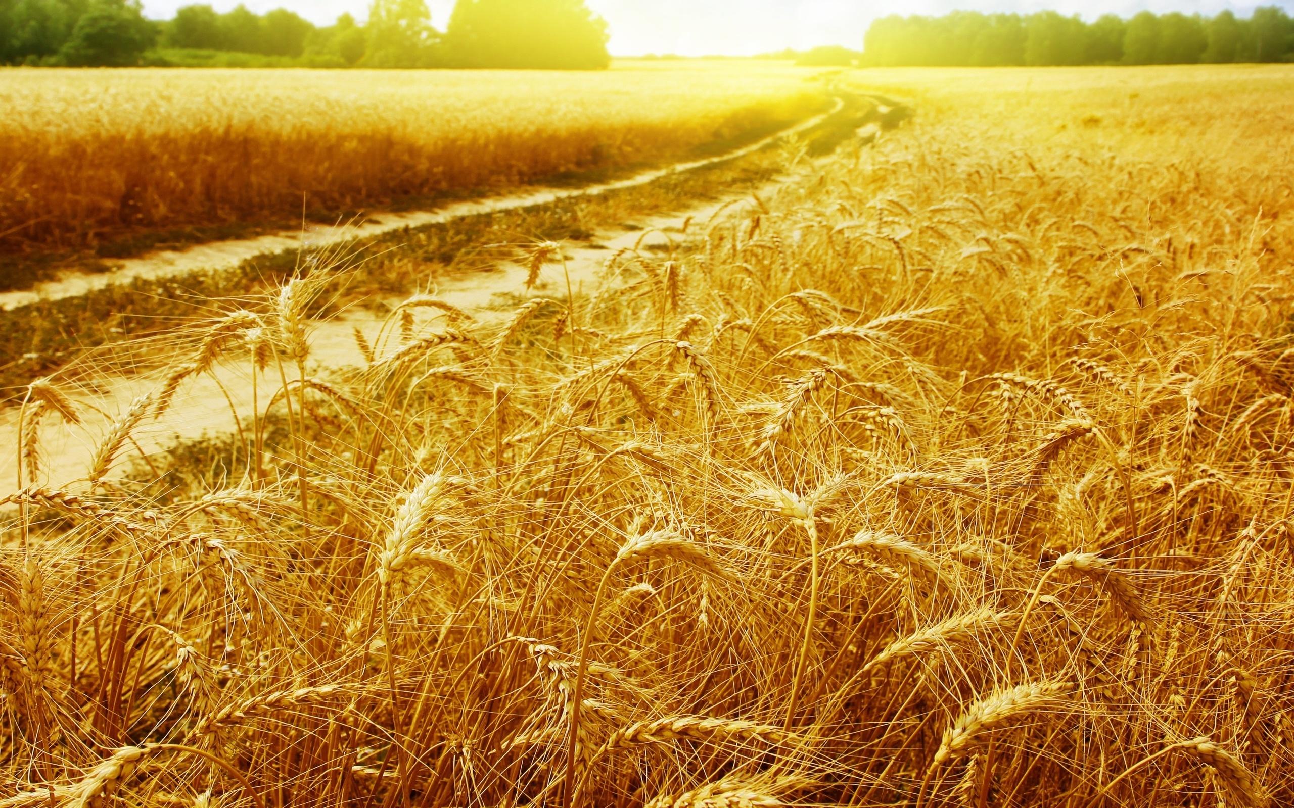 Открытка любимая, картинки лето поле пшеницы