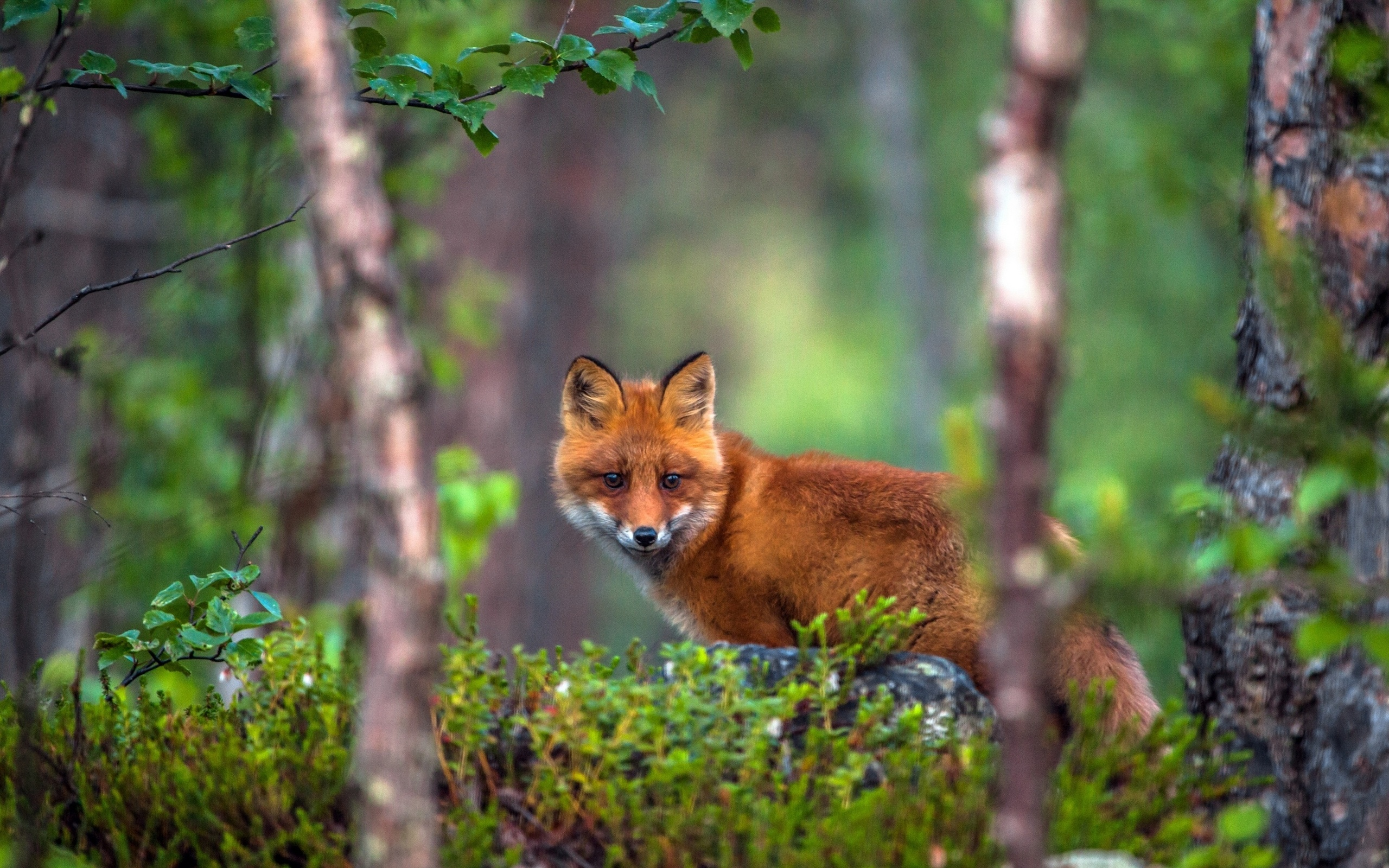 картинки лисы в лесу летом лонгборда принято