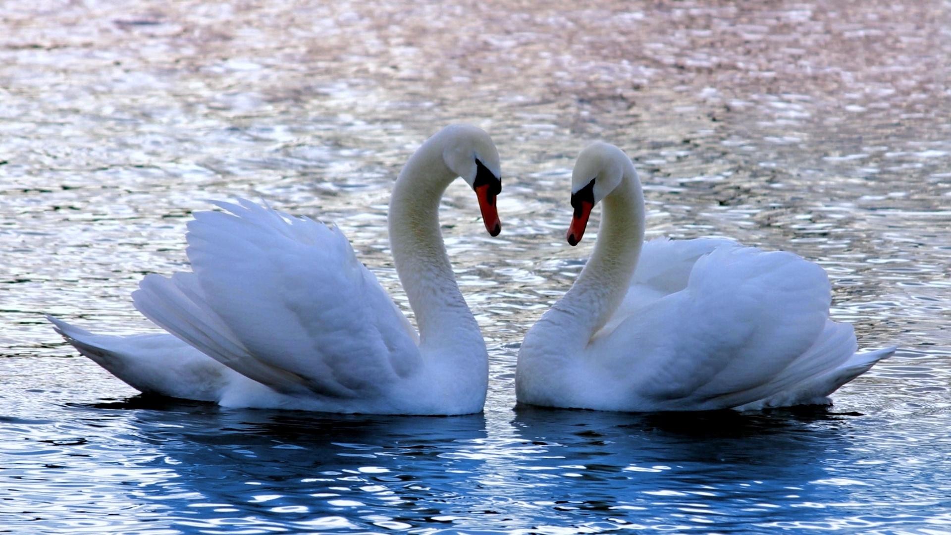 Анимации, картинки лебеди на озере любовь