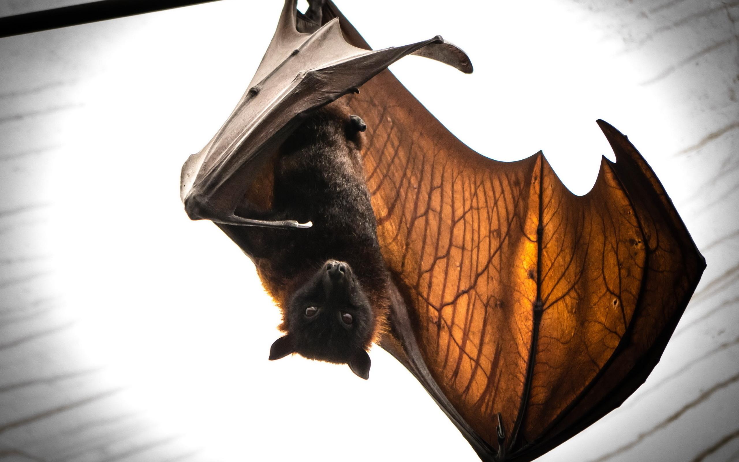 Картинка крыльев летучей мыши