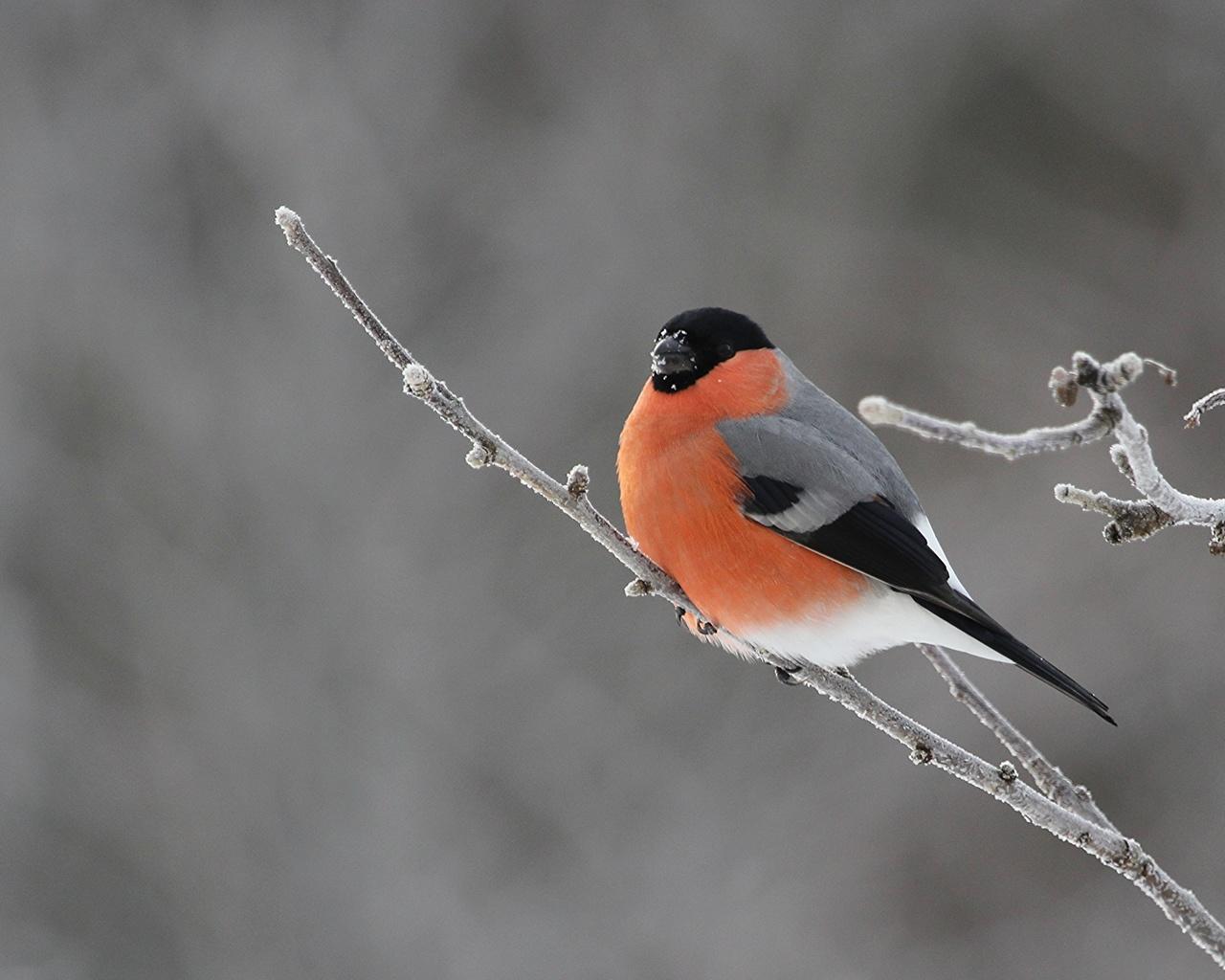 фото зима снегири красные большие красивые если рассматривать