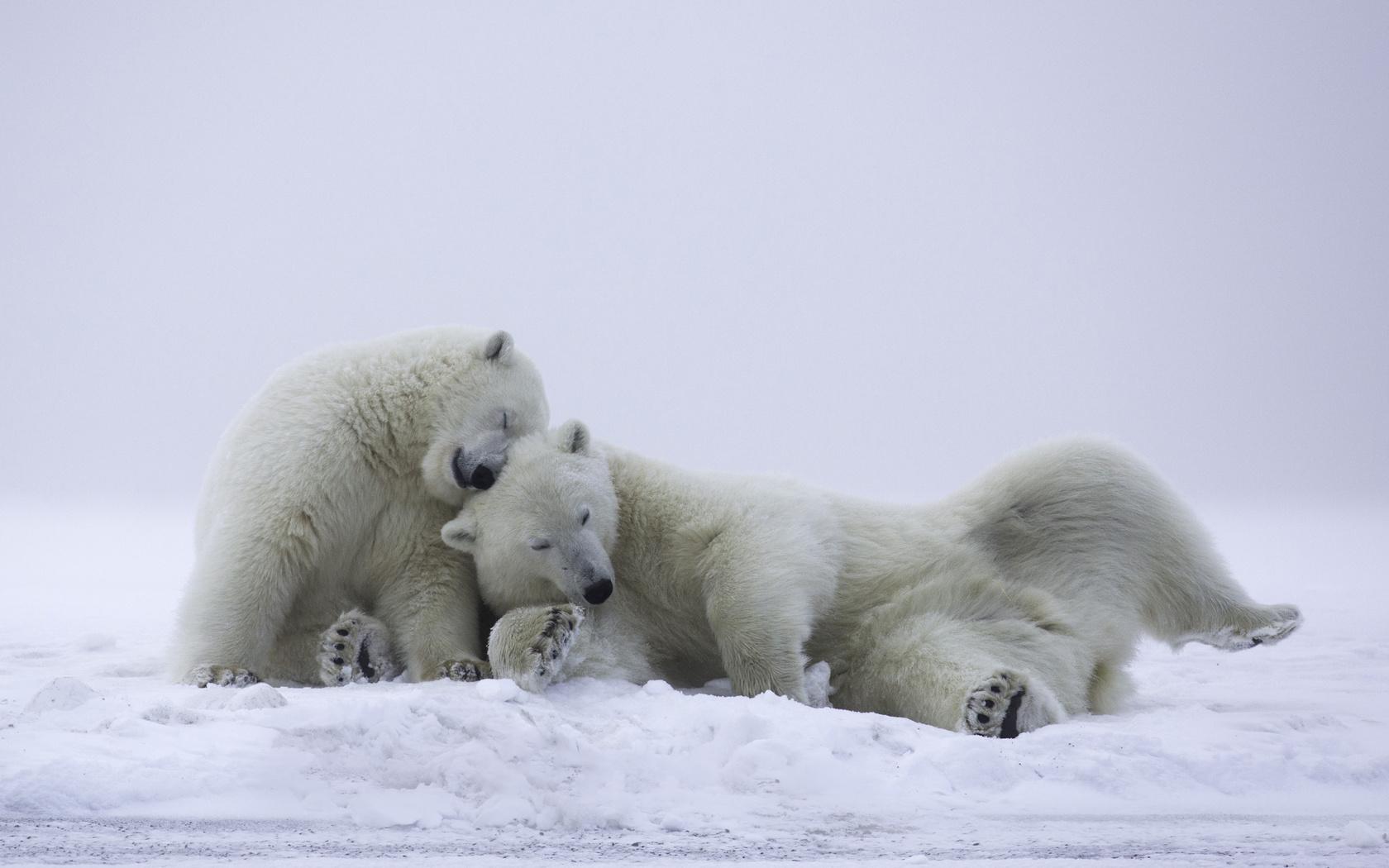 Картинка с белым медведем и медвежонком, свадьбы