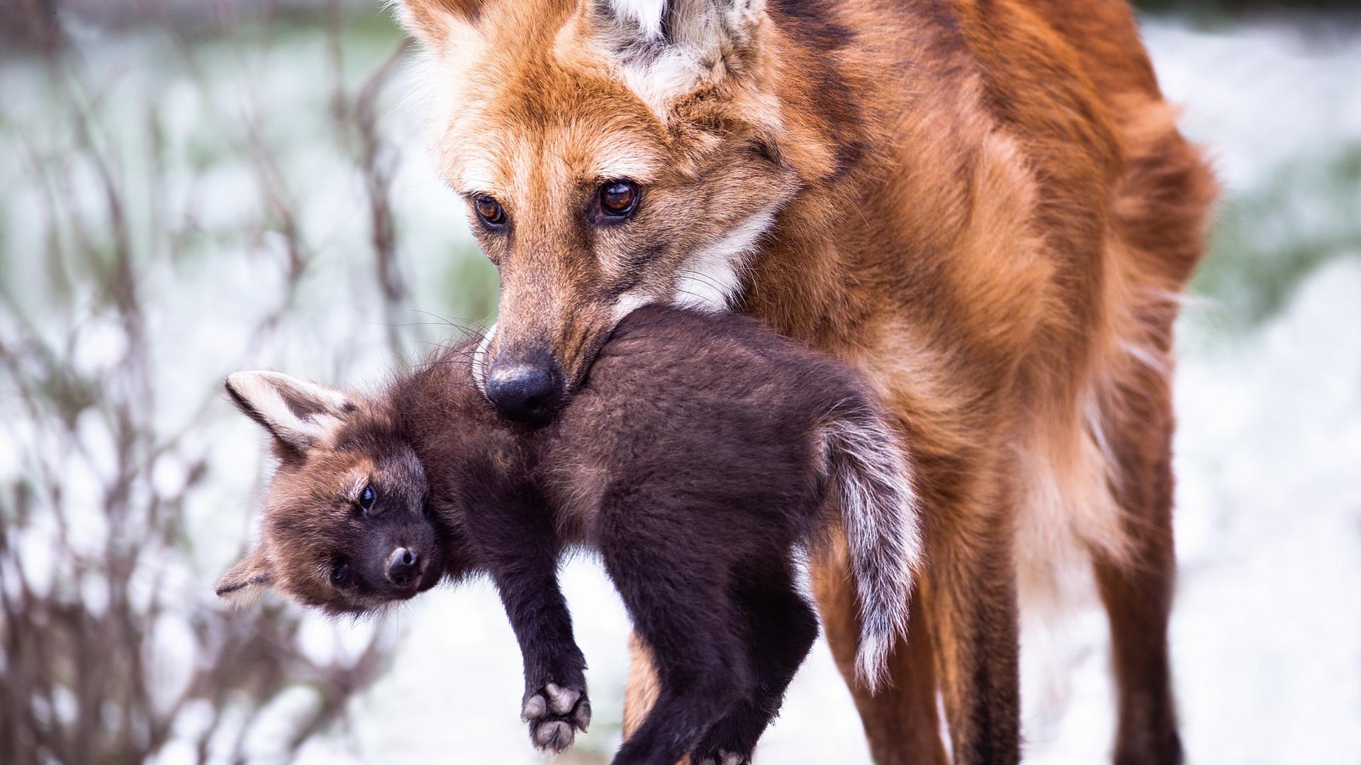 картинки лисы с лисятами от волка образом получается, что