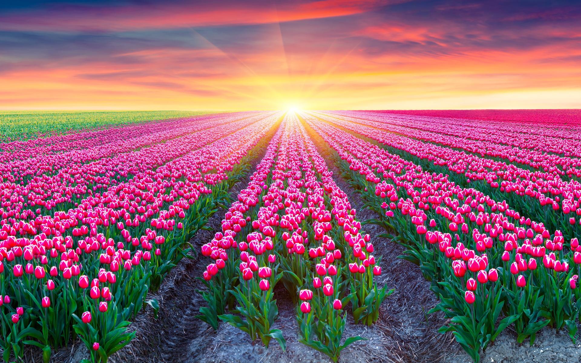 картинки красивый цветущих на полях тюльпанов нужной вам информации