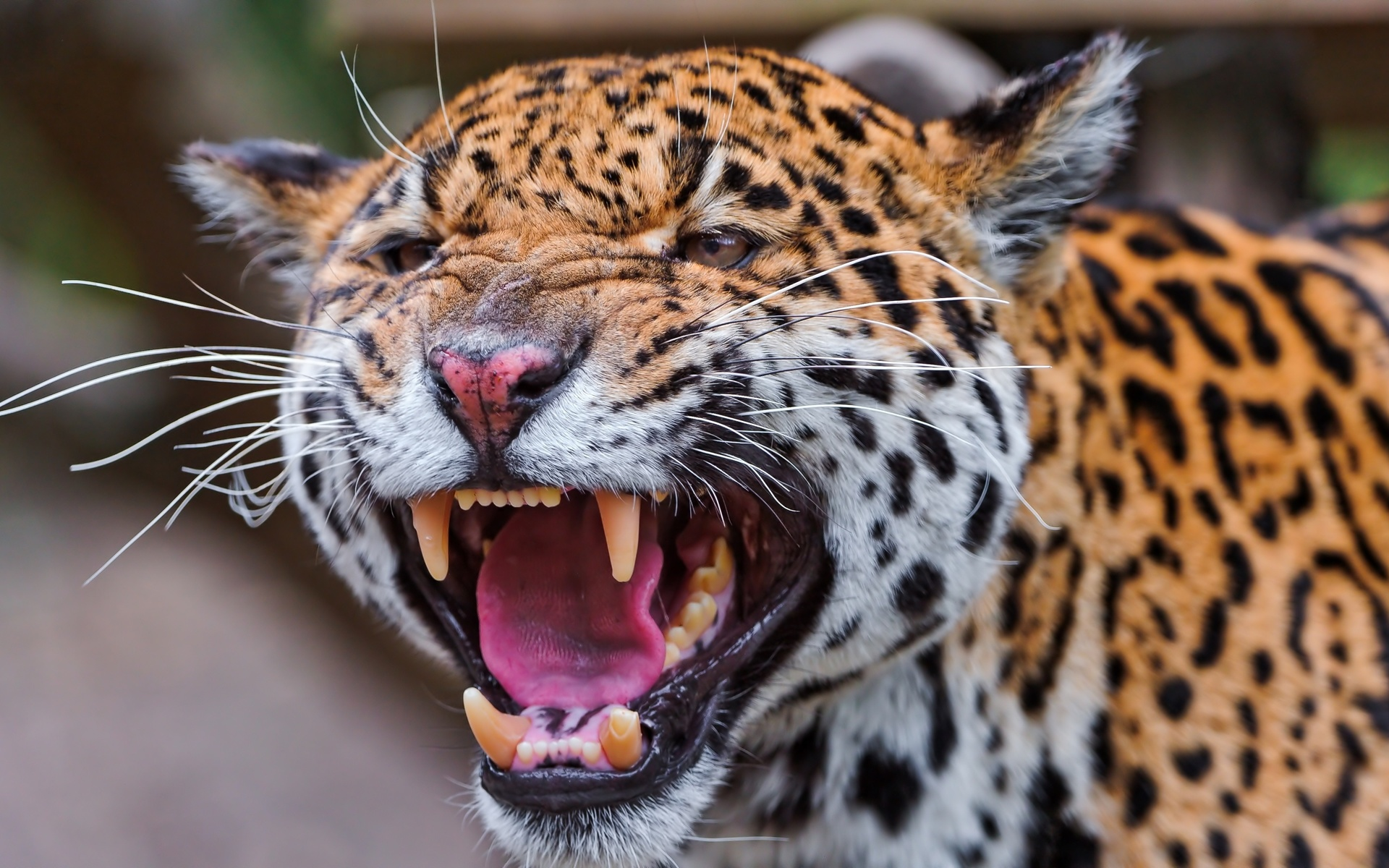 множество оскал леопарда фото виду, что чем