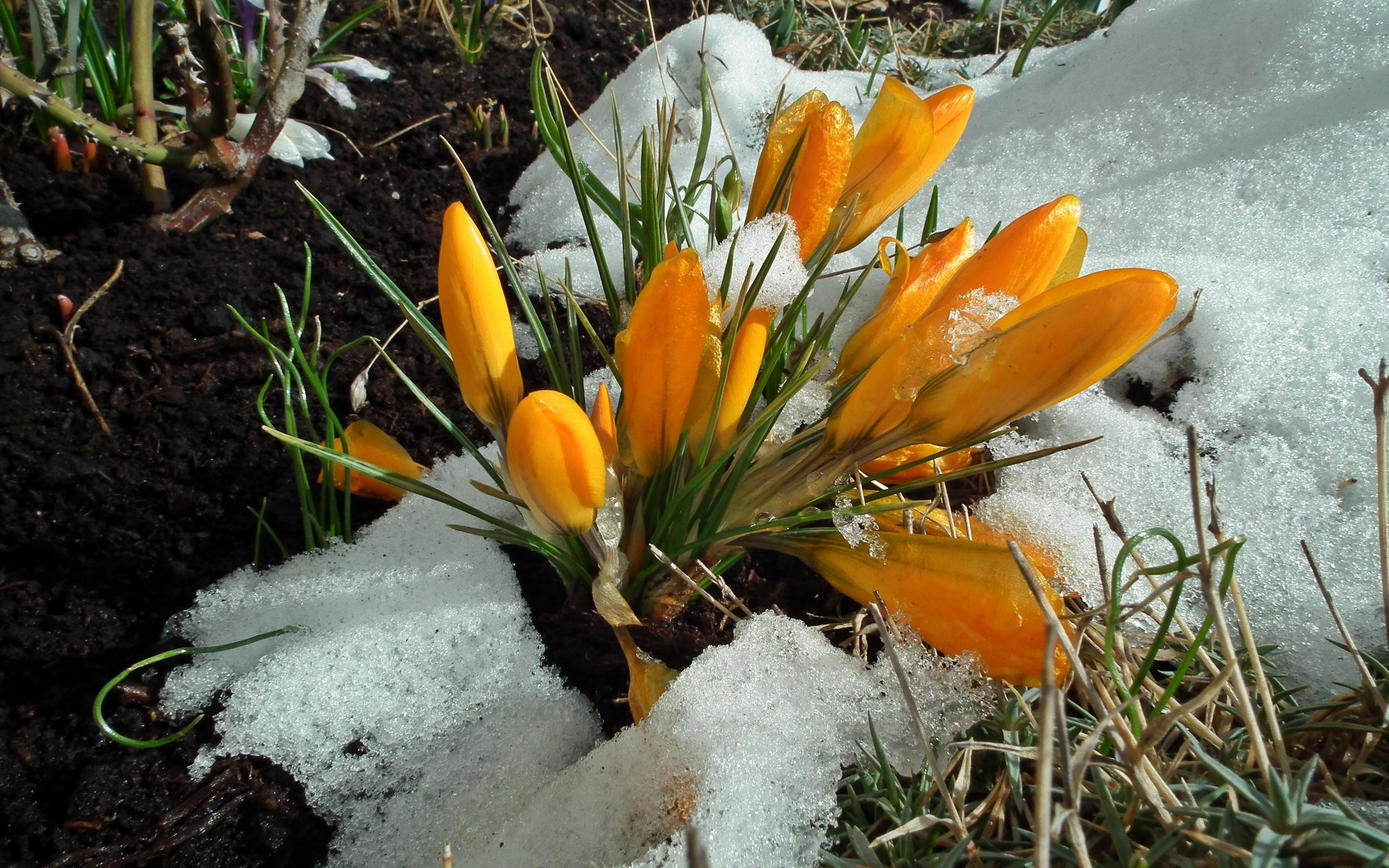 комментариях картинки весна ранняя крокусы тебе победы цени