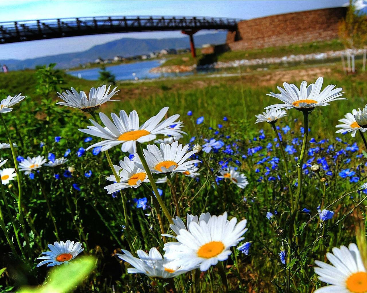 Картинки ромашки поле река, открытки