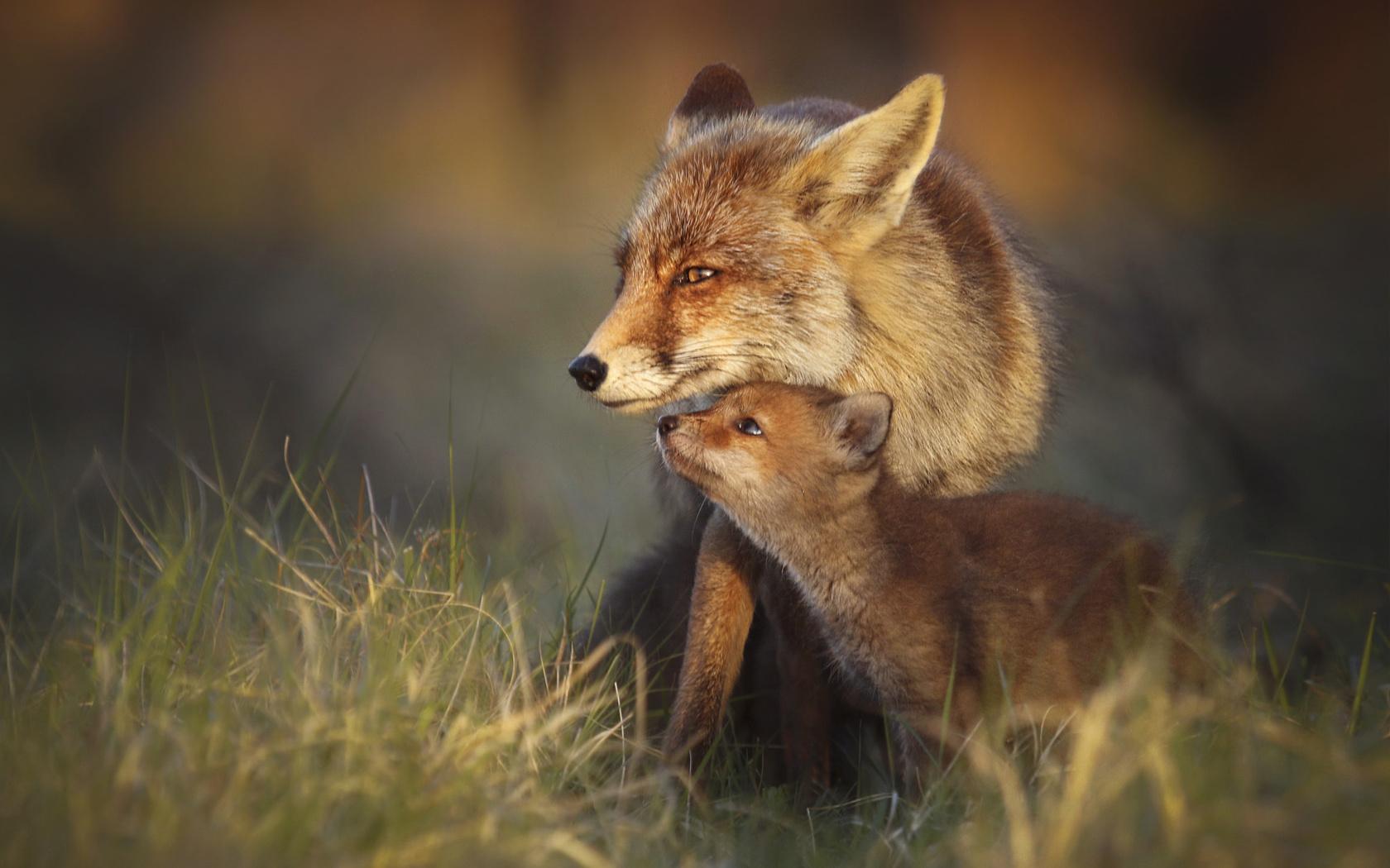 Аниме девушки картинки лисы