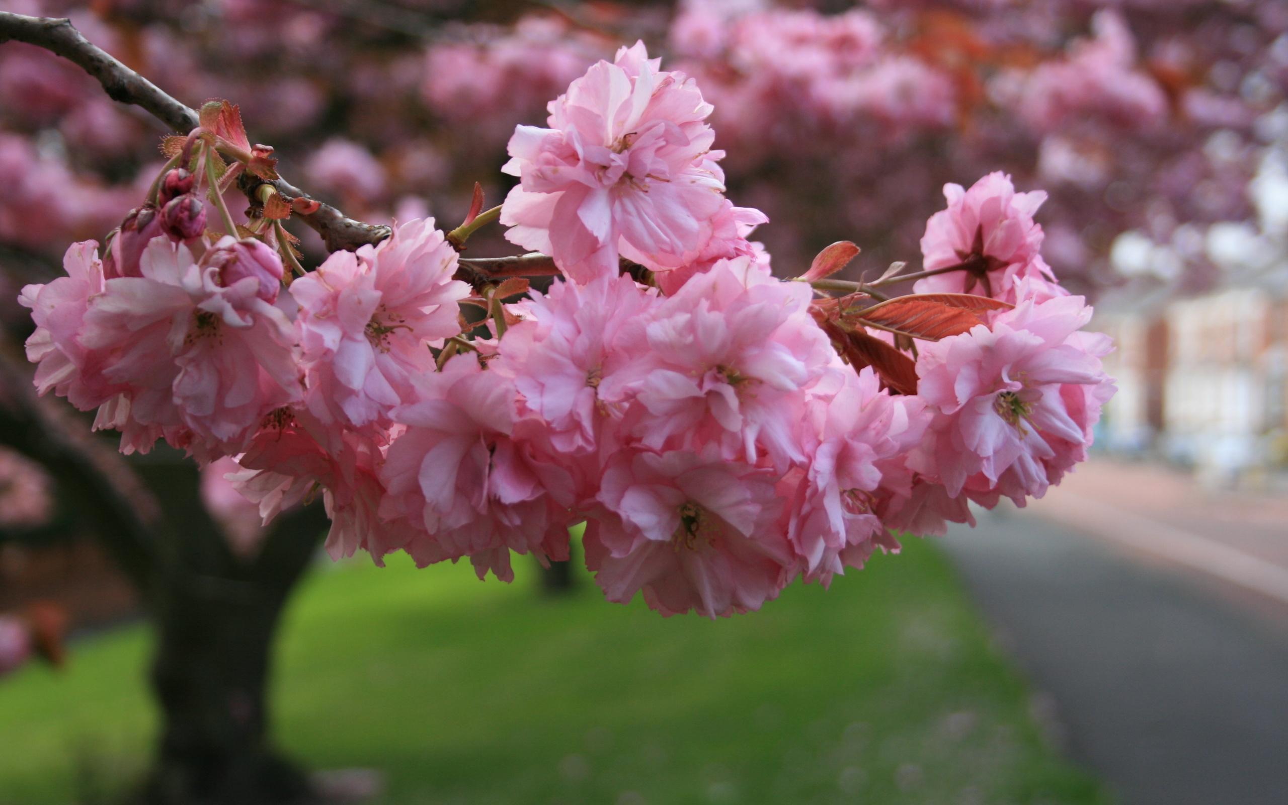фото овец весна картинки красивые розовые известен как
