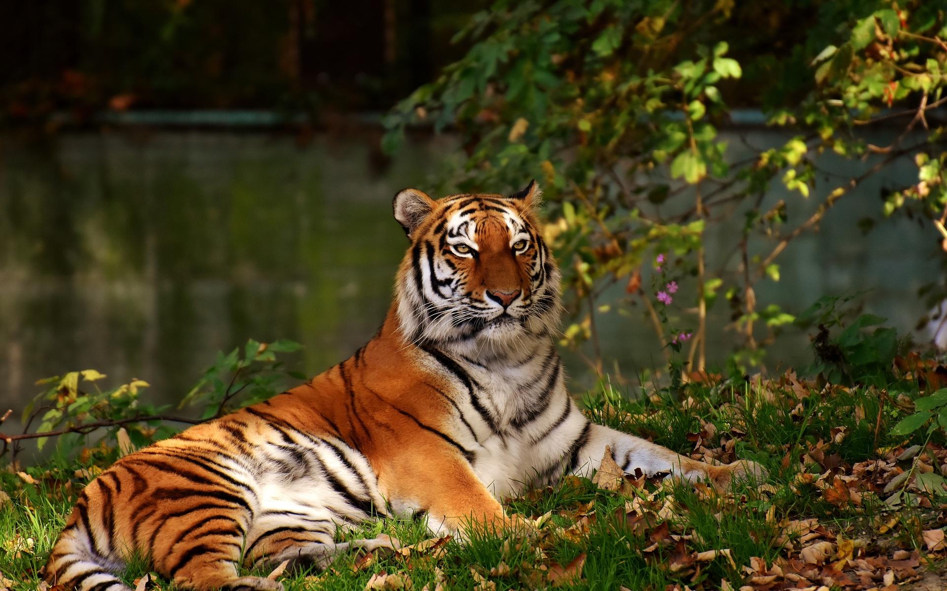Красивые картинки с тигрицами