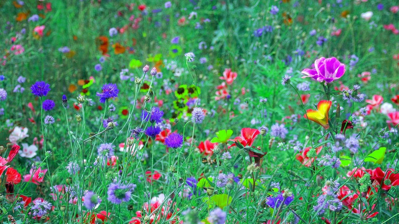картинки много цветов на лугу нашла просторах