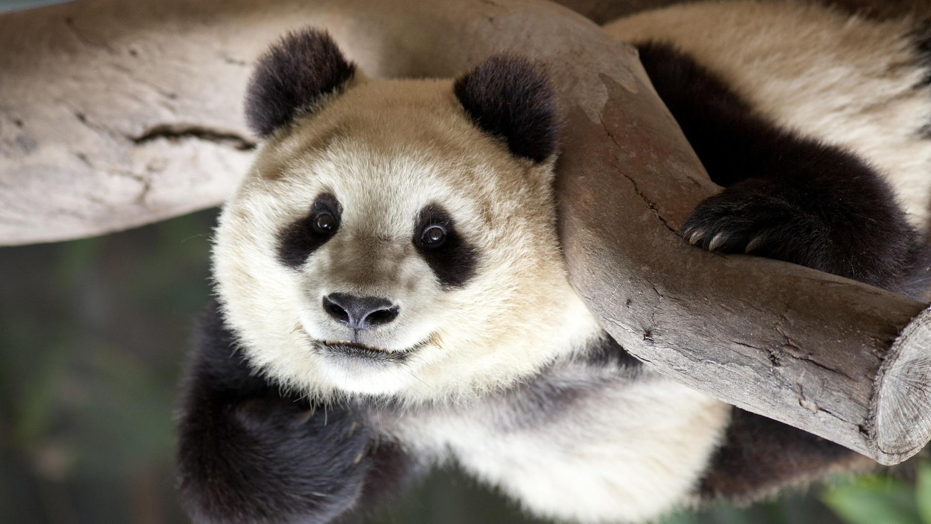 Картинки мишка панда, моя дорогая