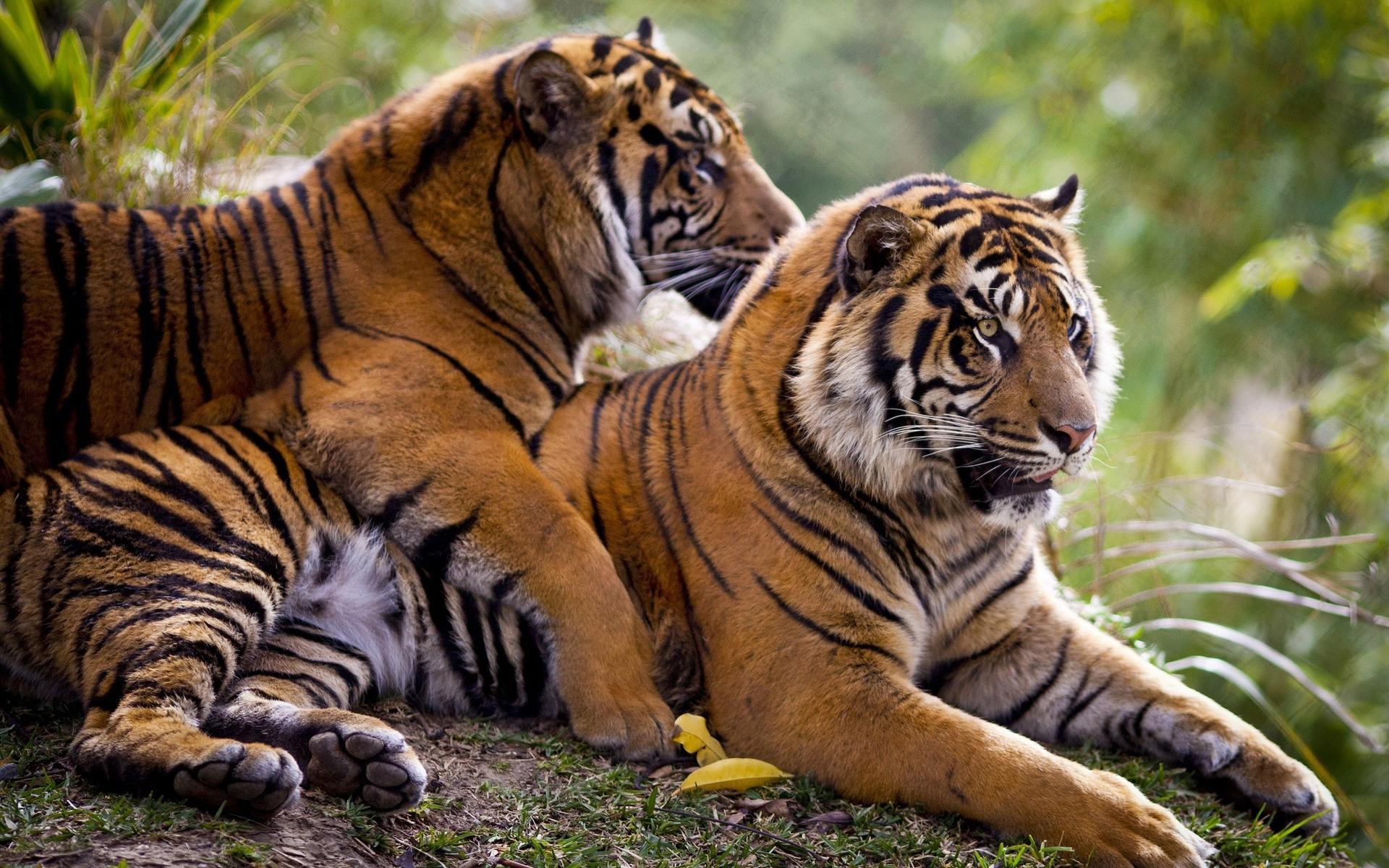 Вместе с тигром картинки