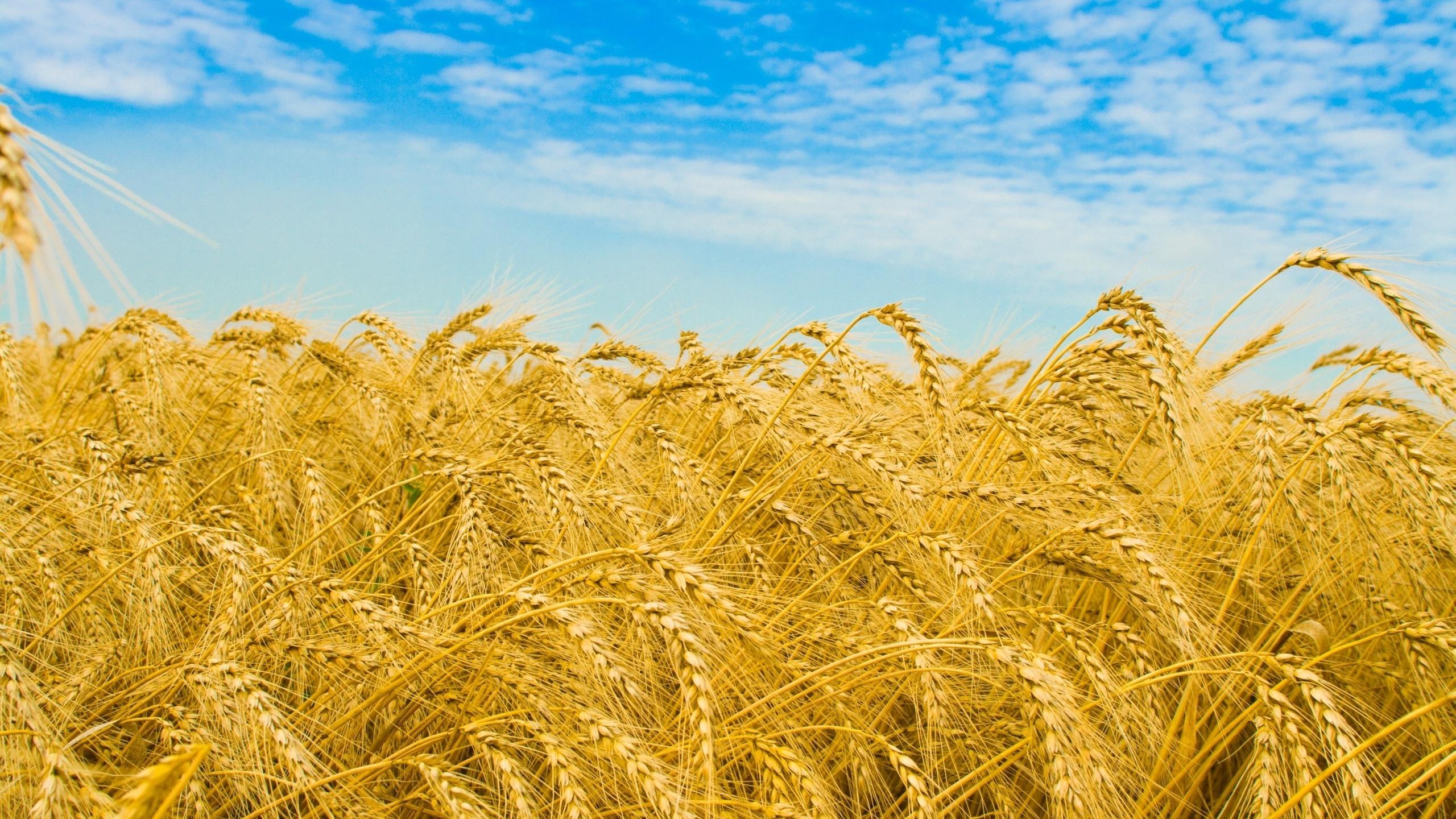 Картинки о пшеничном поле