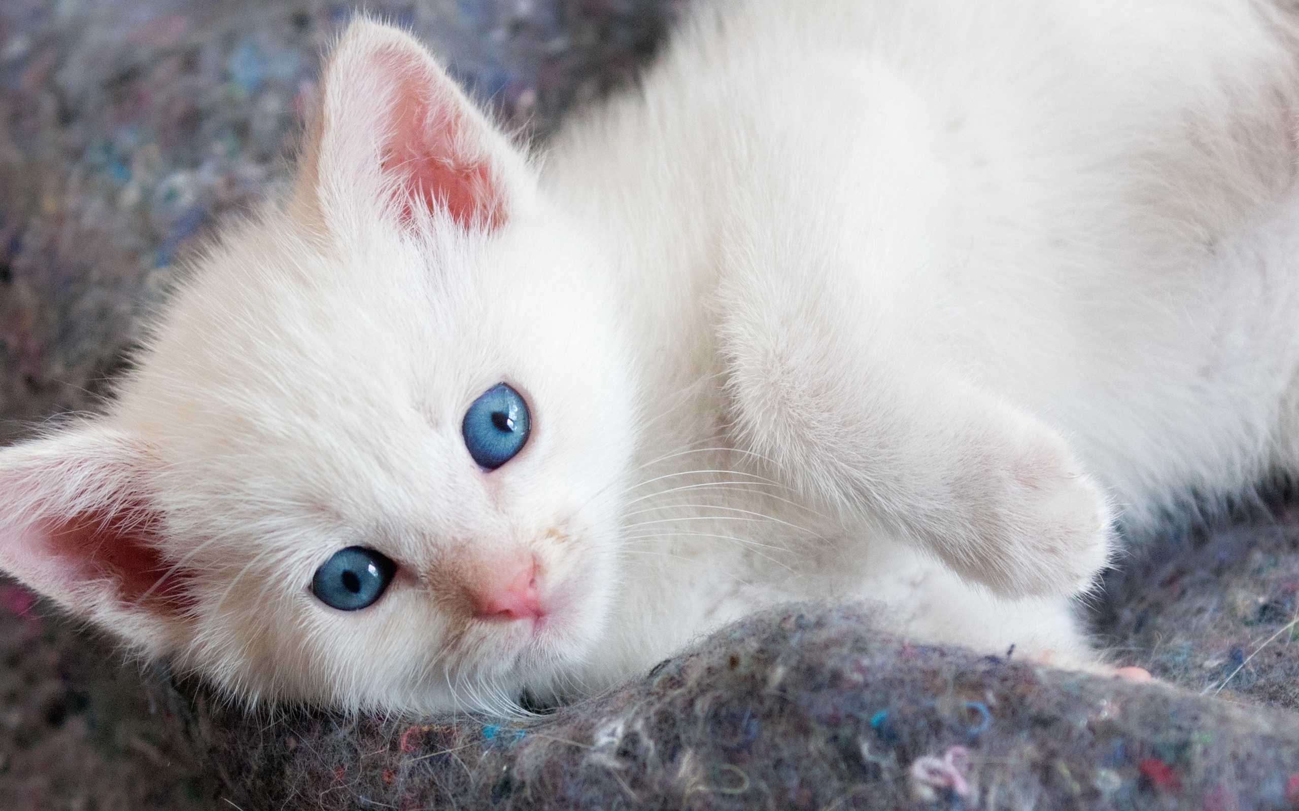 Картинки белых котят милых, для пацана прикольные
