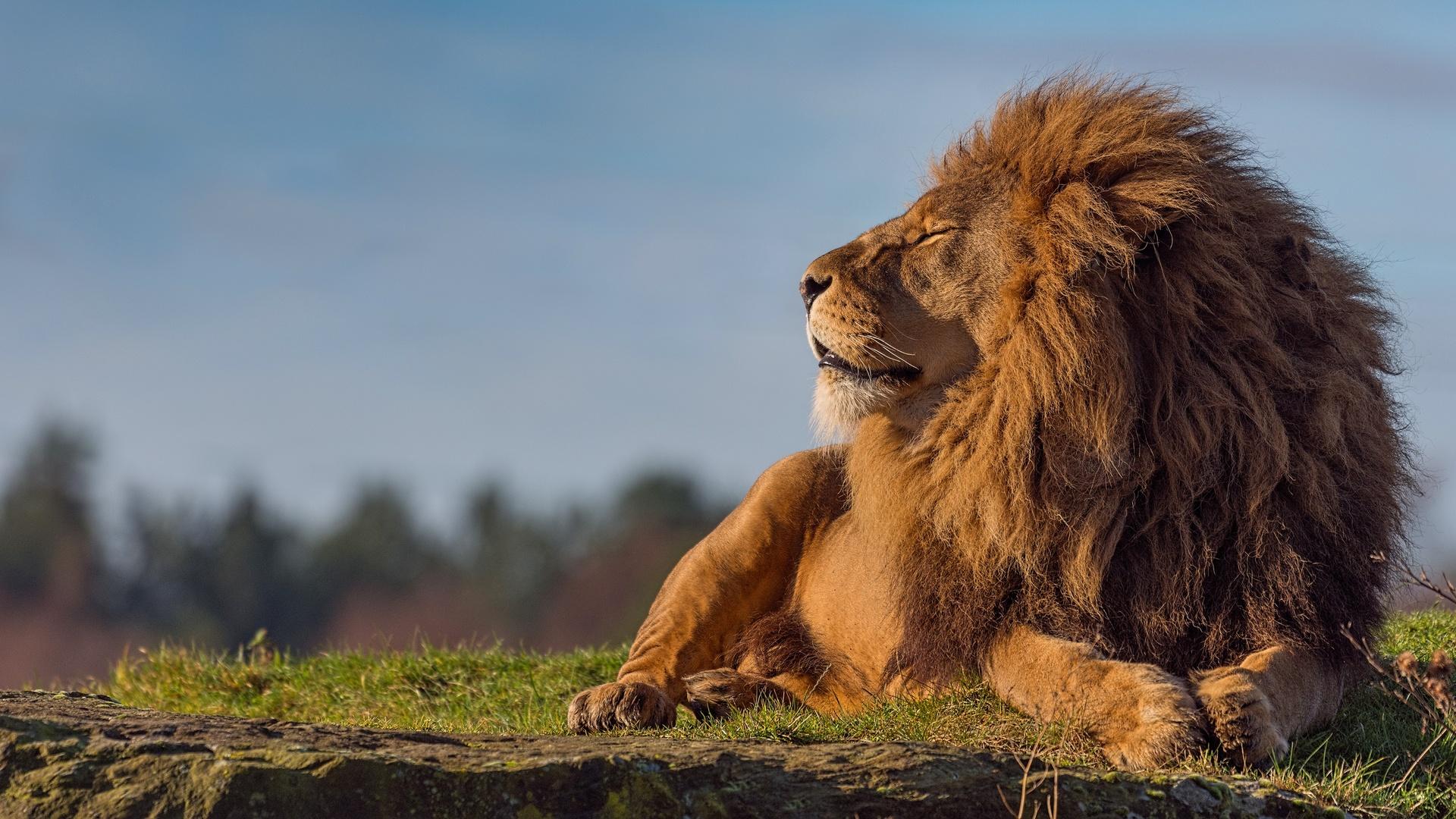лев потрепанный картинка