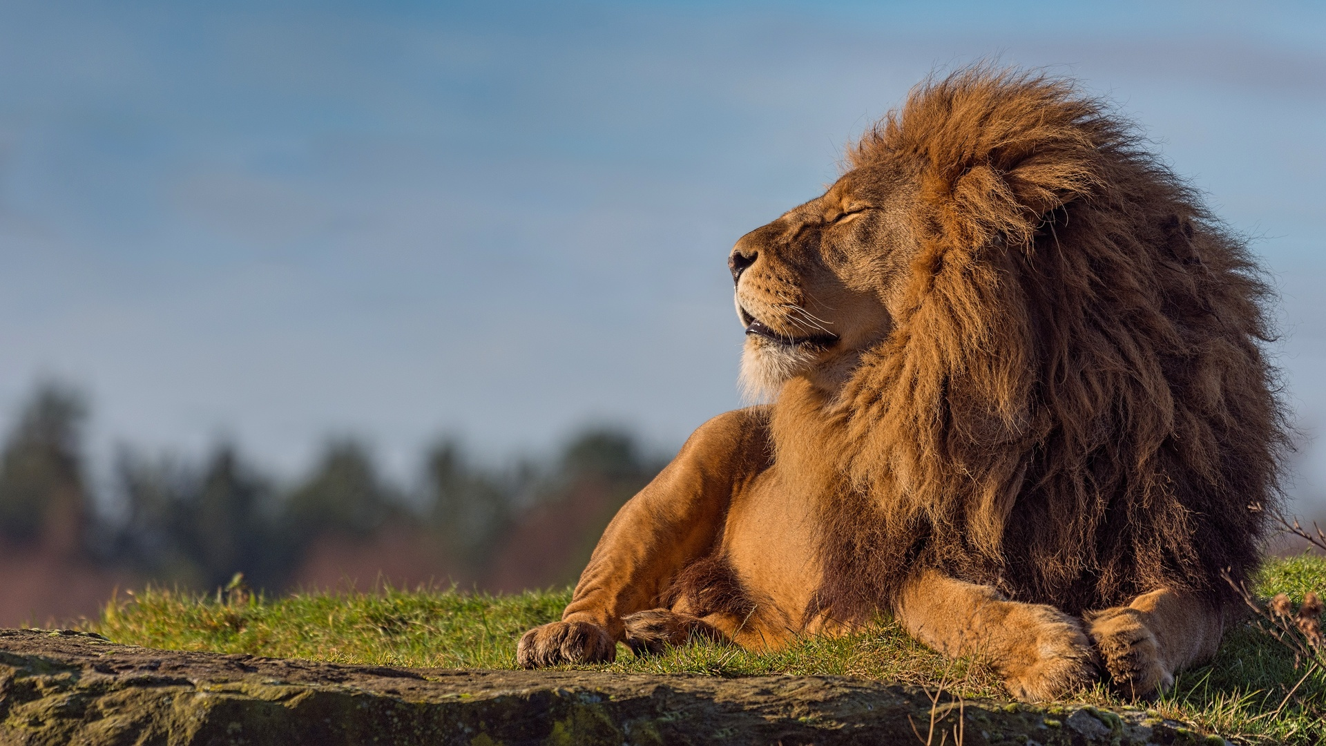 Лев лежащий картинка