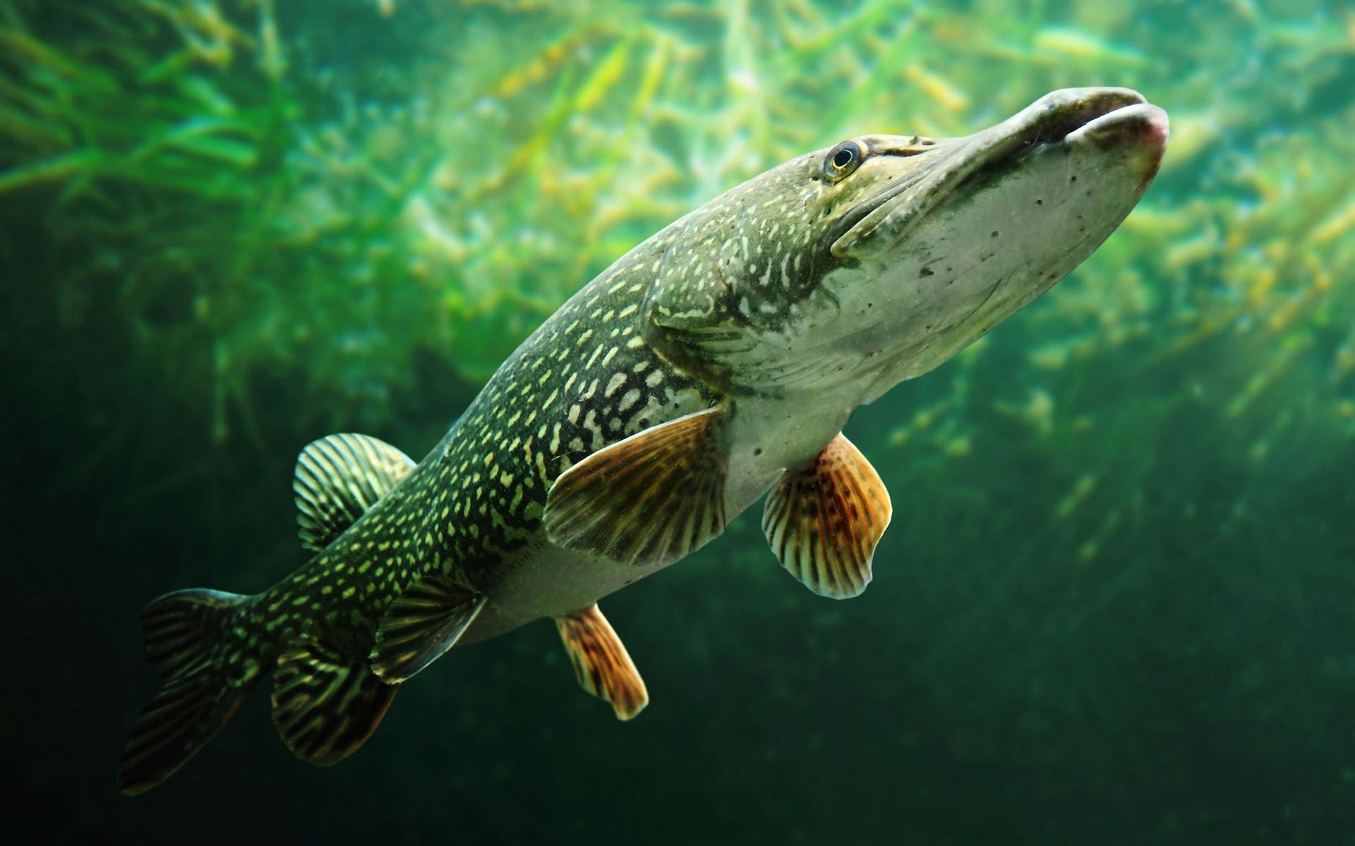 значит, картинки про хищных рыб его