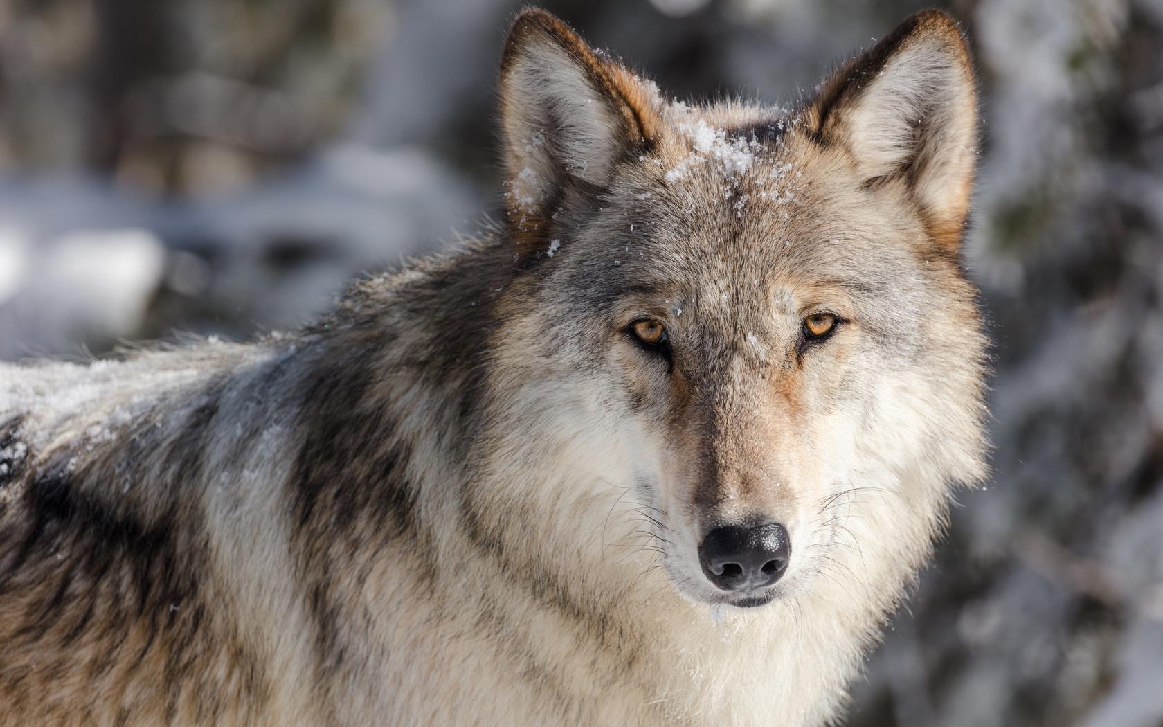 Волк картинки морда