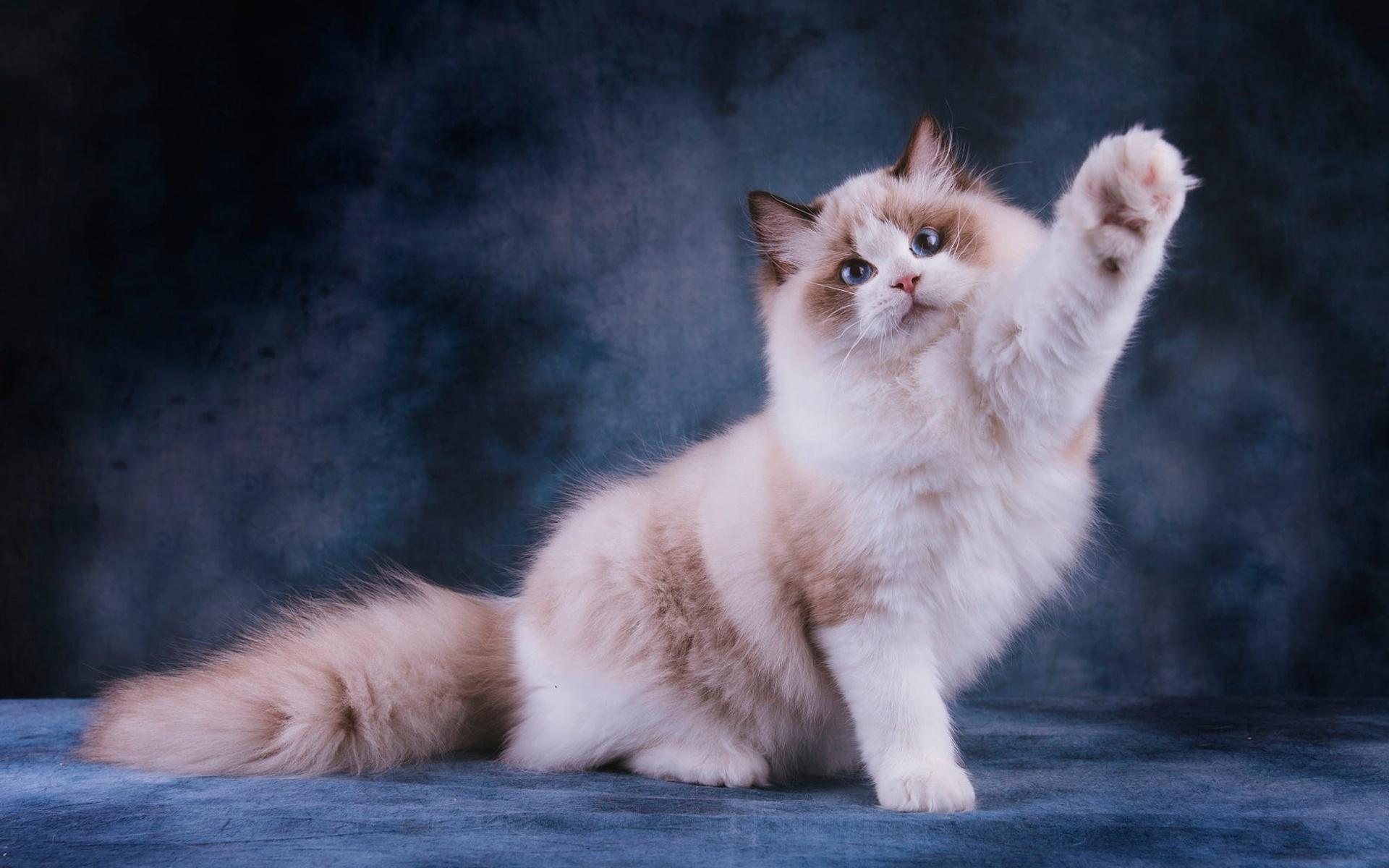 Картинки кошки породы рэгдолл