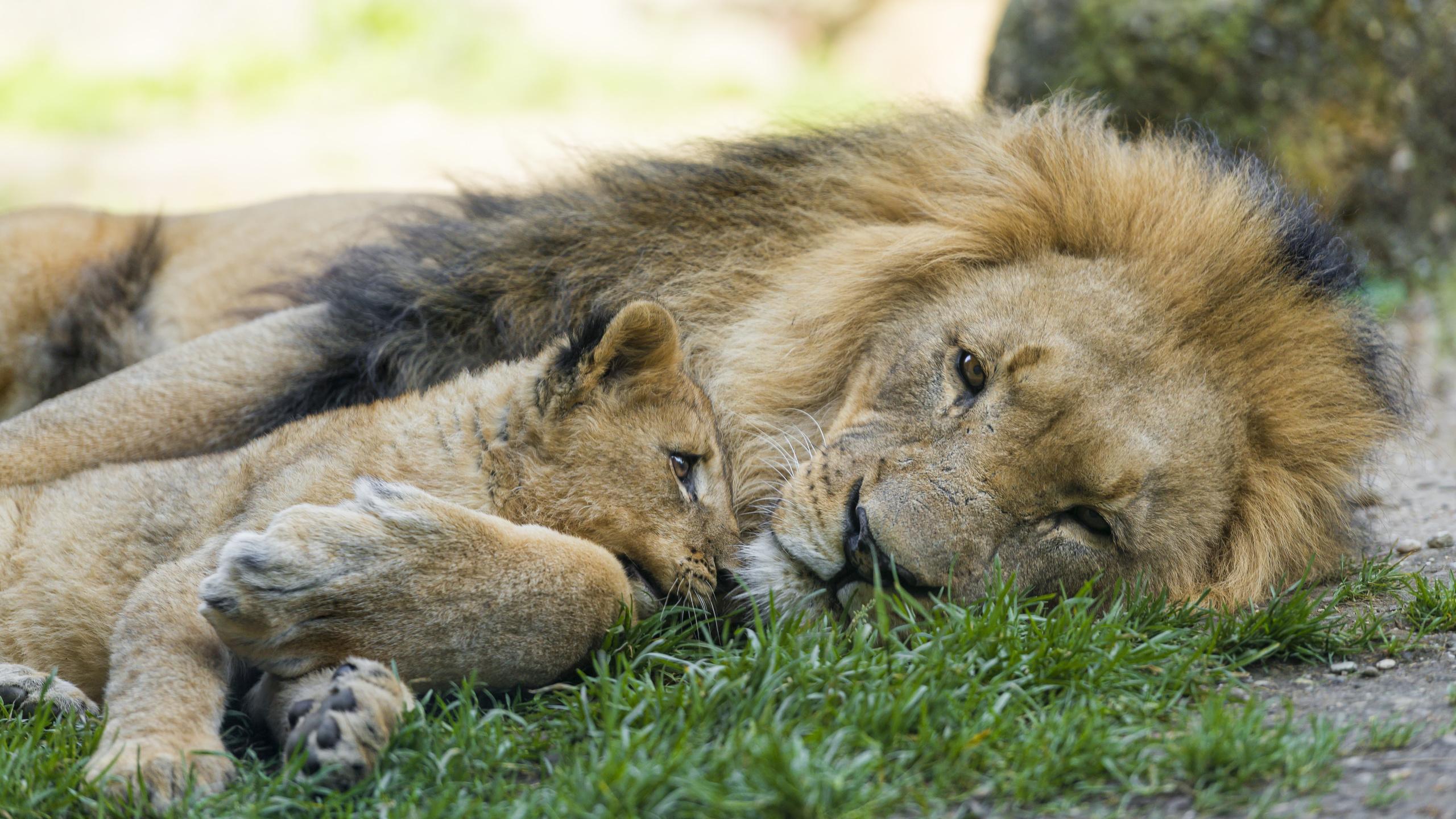картинки лев львица львята высококачественного материала текстильной